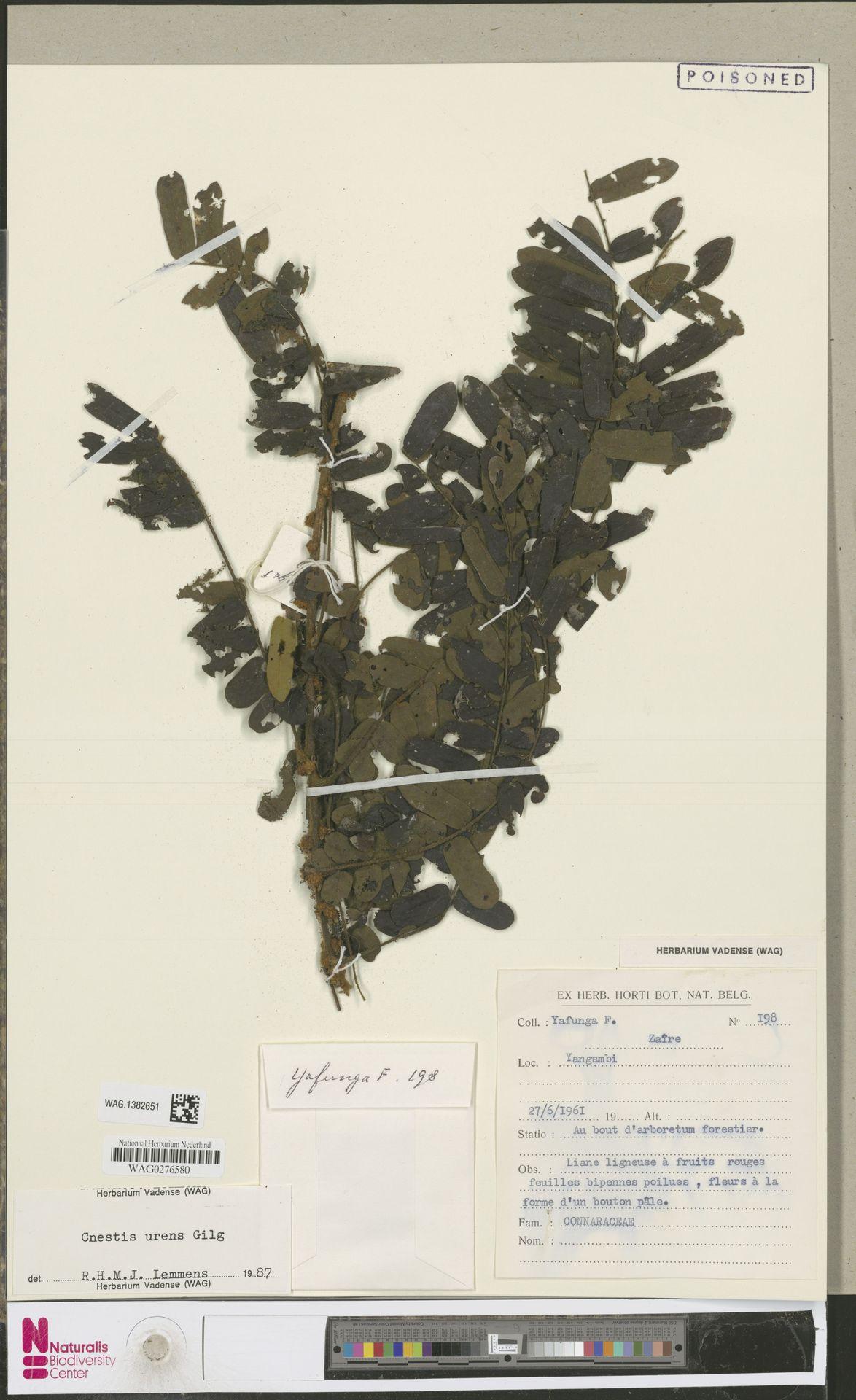 WAG.1382651 | Cnestis urens Gilg