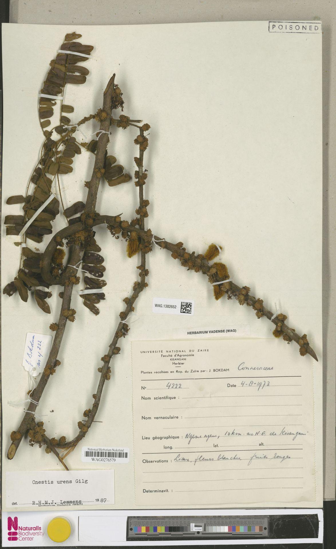 WAG.1382652 | Cnestis urens Gilg