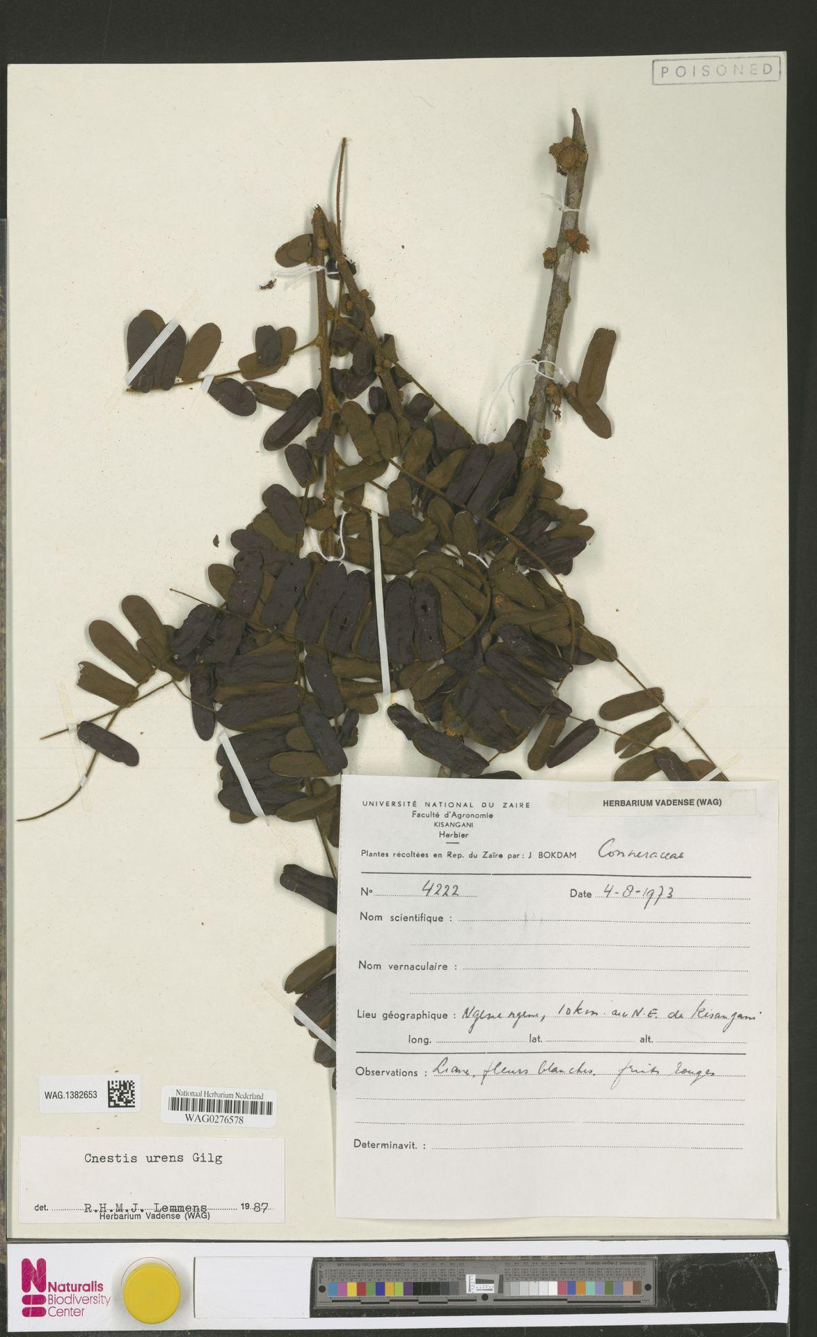 WAG.1382653 | Cnestis urens Gilg