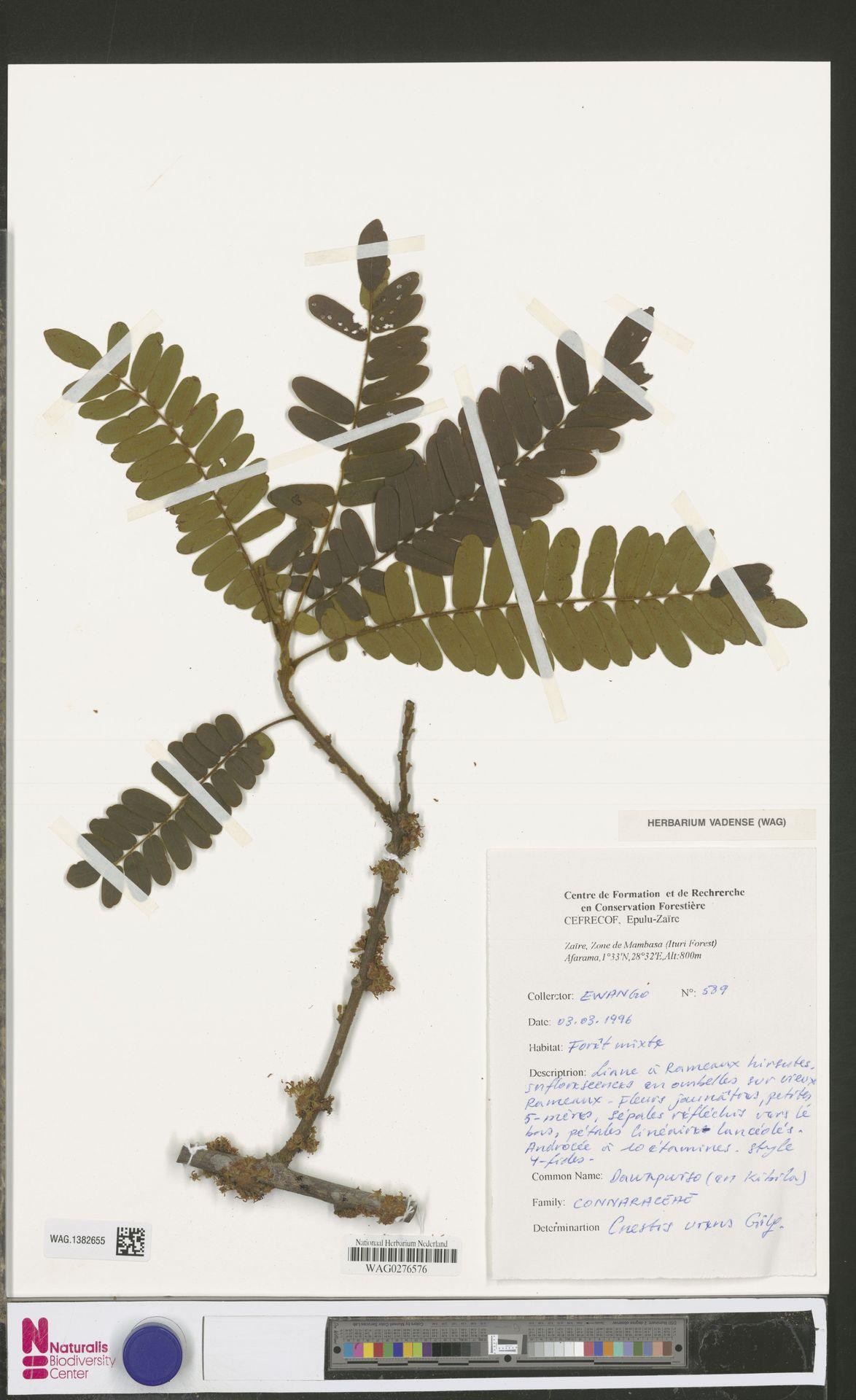 WAG.1382655 | Cnestis urens Gilg