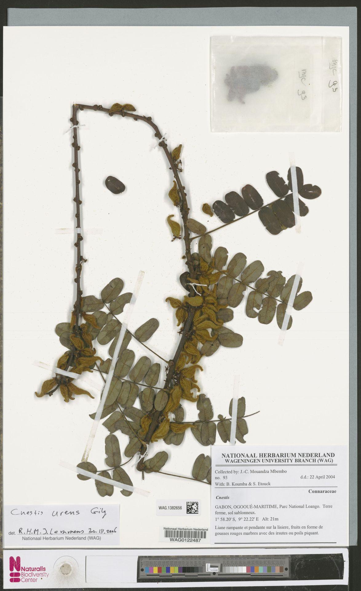 WAG.1382656 | Cnestis urens Gilg