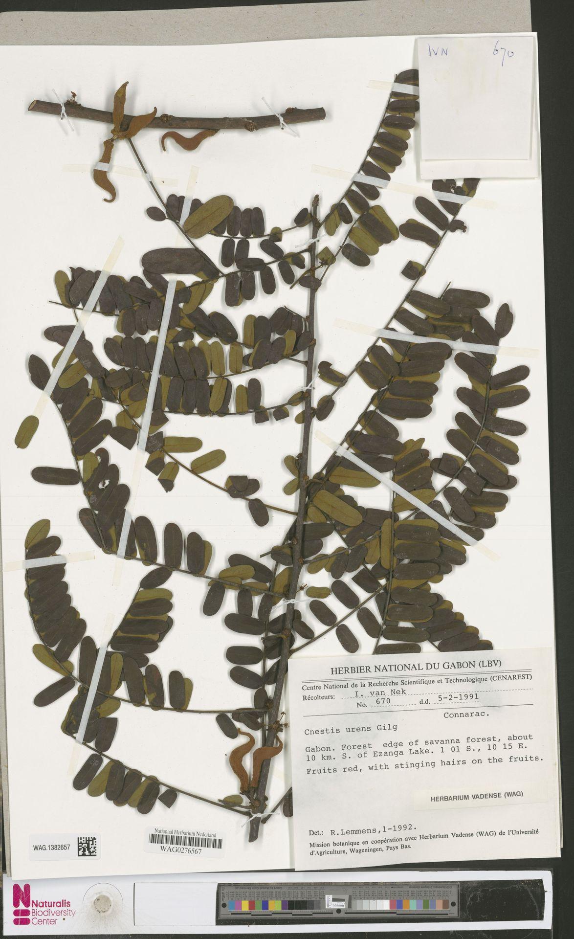 WAG.1382657 | Cnestis urens Gilg