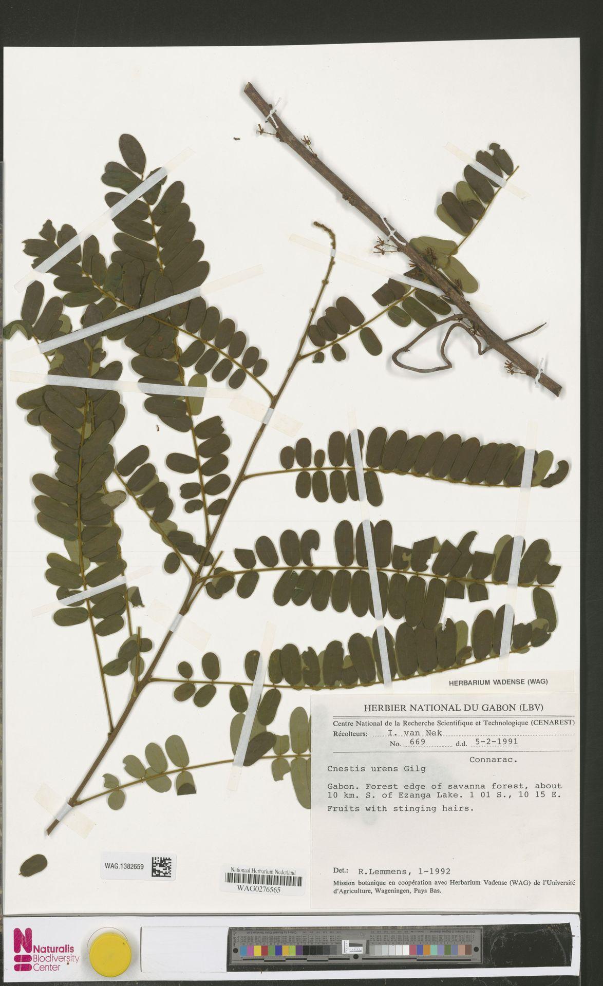 WAG.1382659 | Cnestis urens Gilg