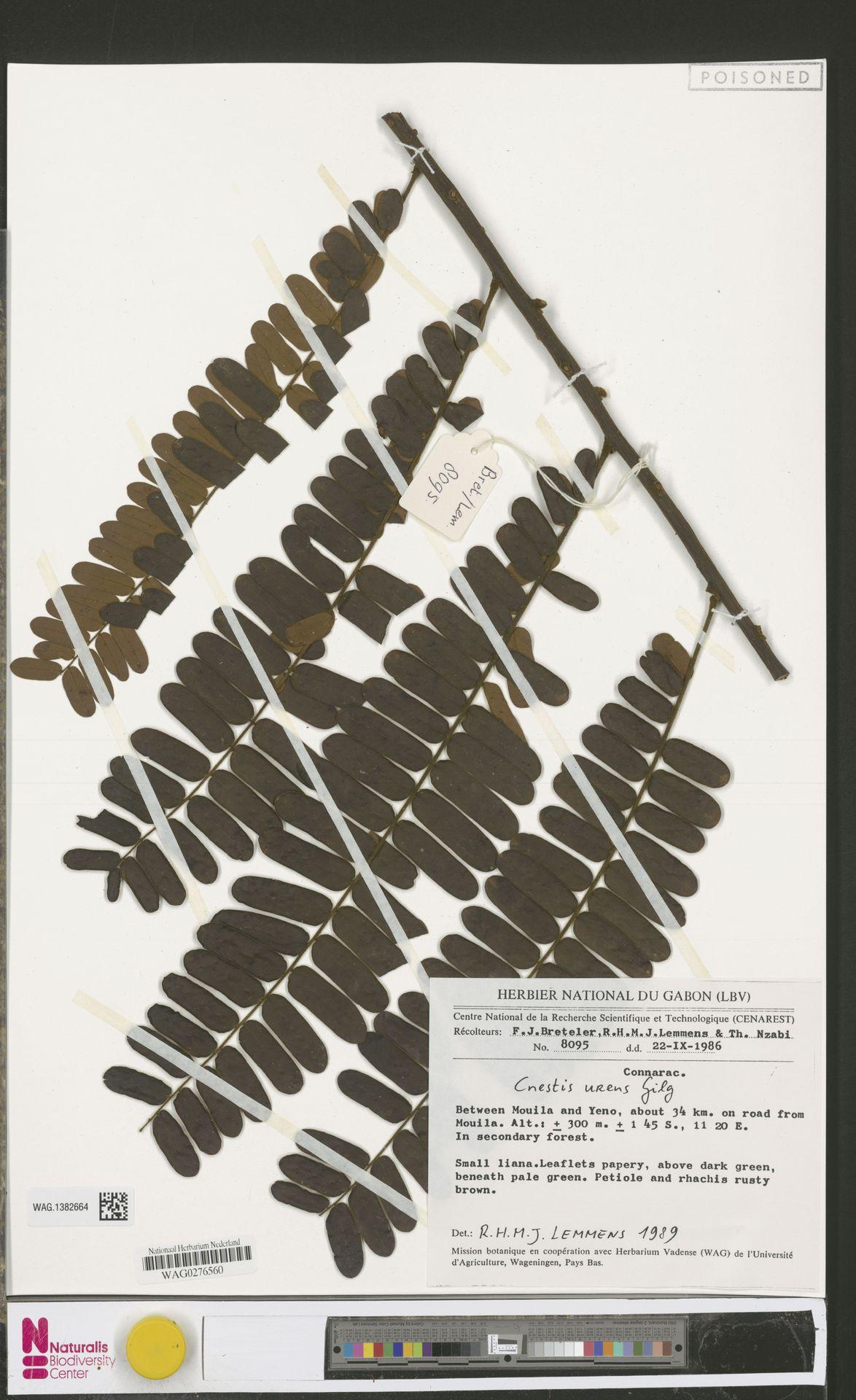WAG.1382664 | Cnestis urens Gilg