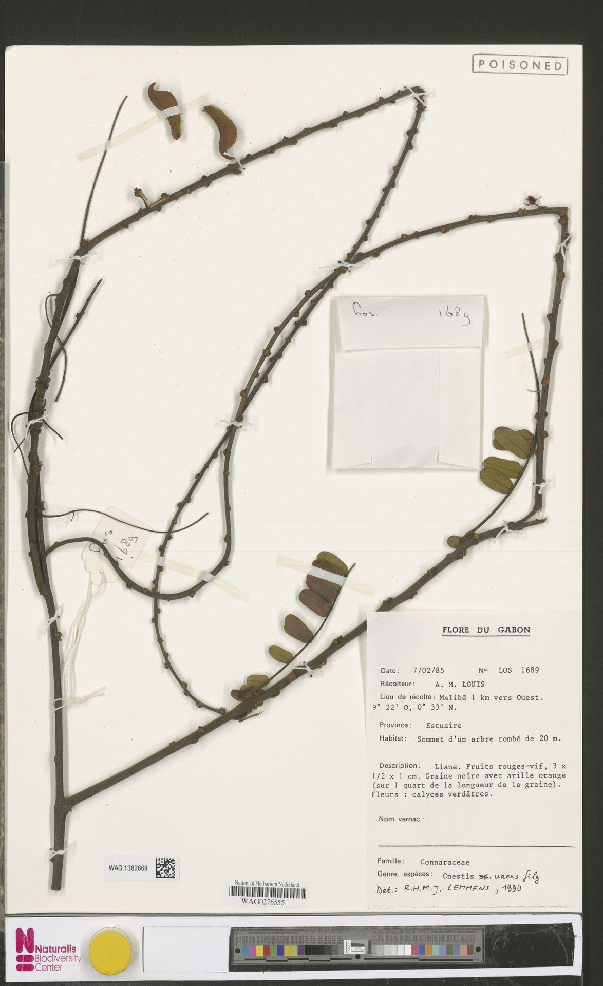 WAG.1382669 | Cnestis urens Gilg