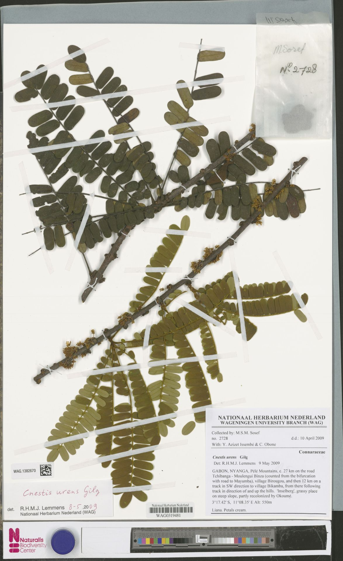 WAG.1382670 | Cnestis urens Gilg