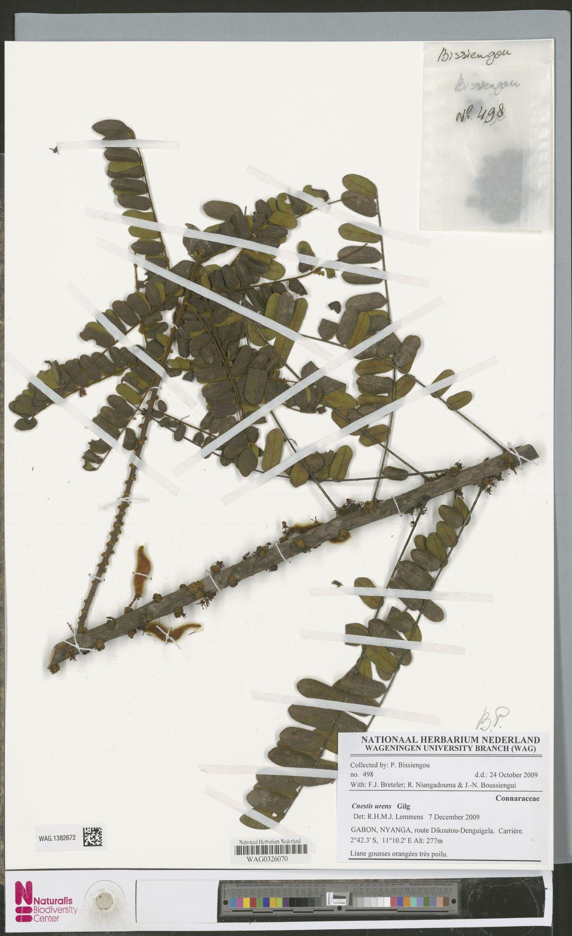 WAG.1382672 | Cnestis urens Gilg