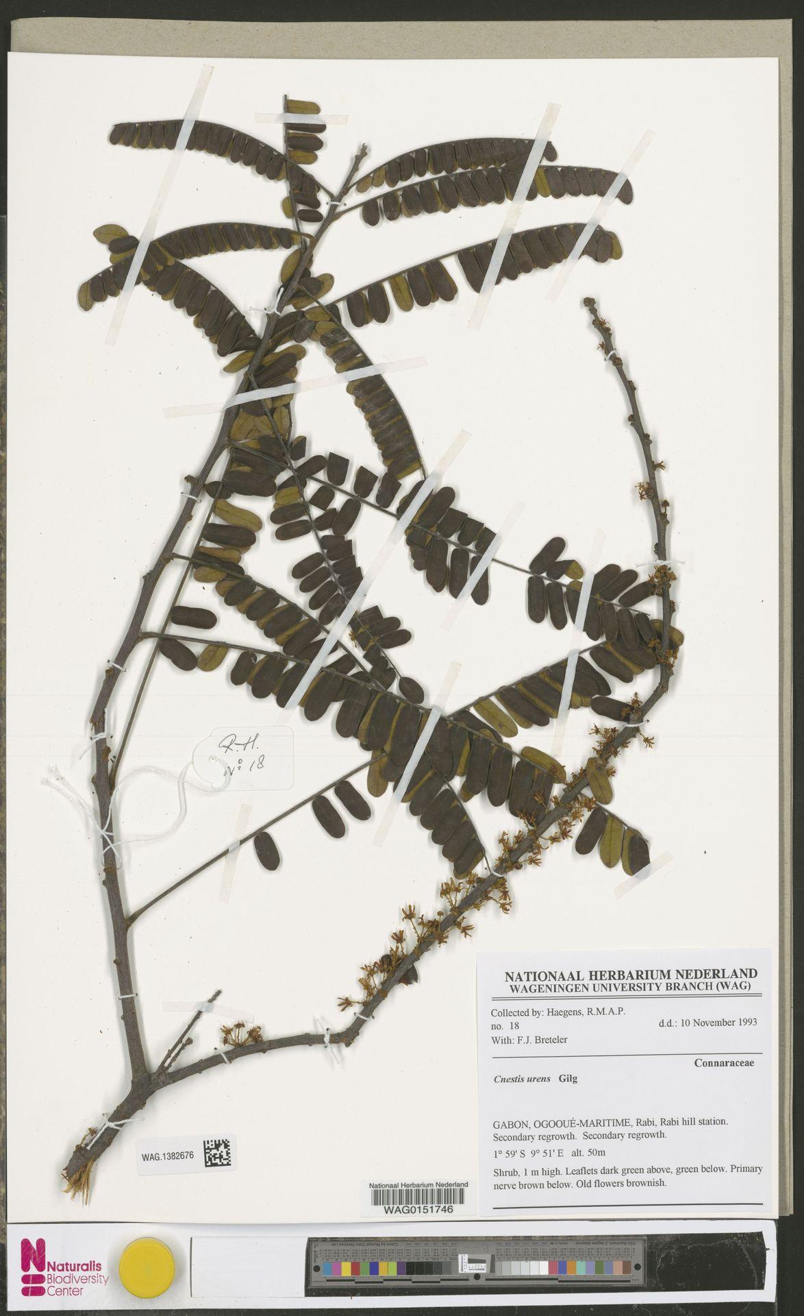 WAG.1382676 | Cnestis urens Gilg