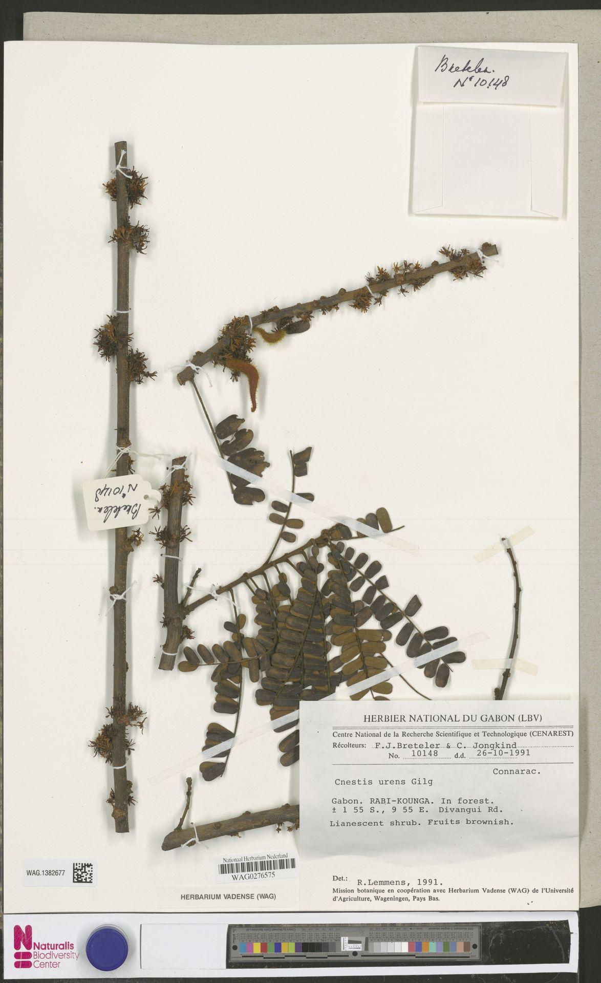 WAG.1382677 | Cnestis urens Gilg