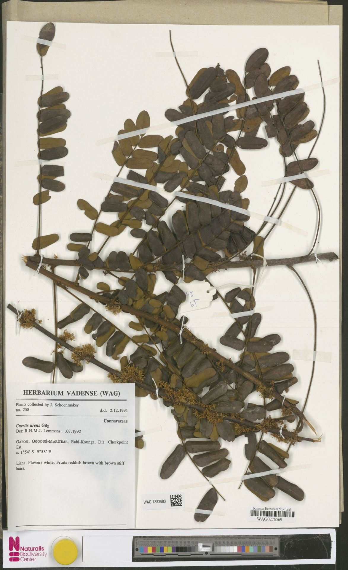 WAG.1382683 | Cnestis urens Gilg