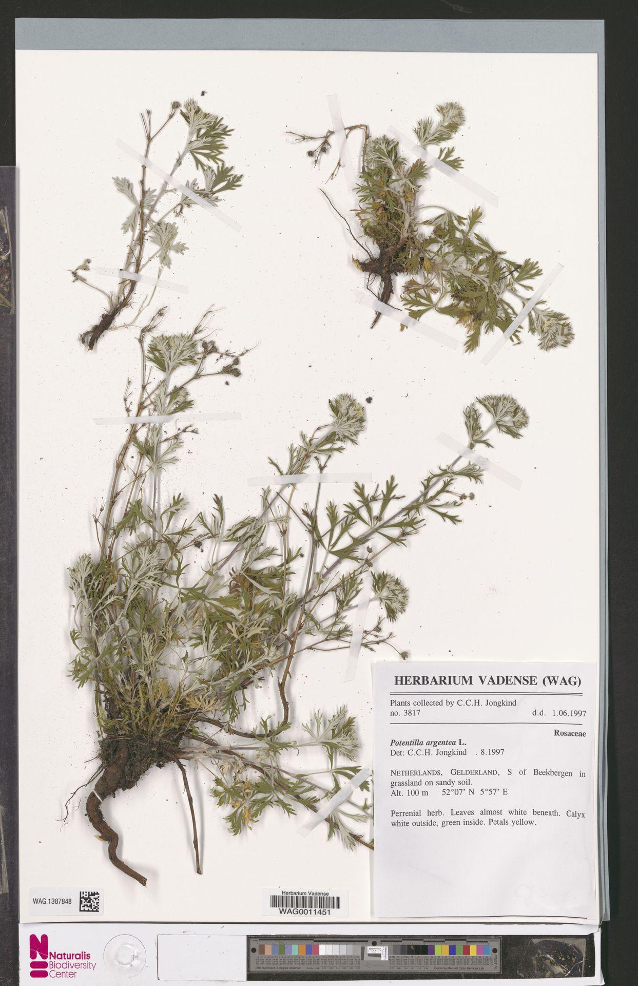 WAG.1387848 | Potentilla argentea L.