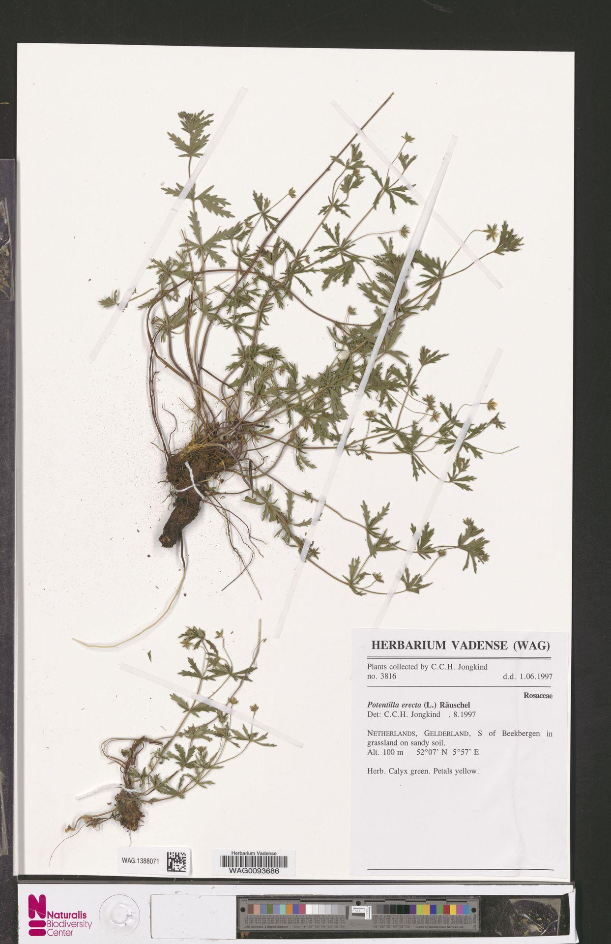 WAG.1388071 | Potentilla erecta (L.) Raeusch.