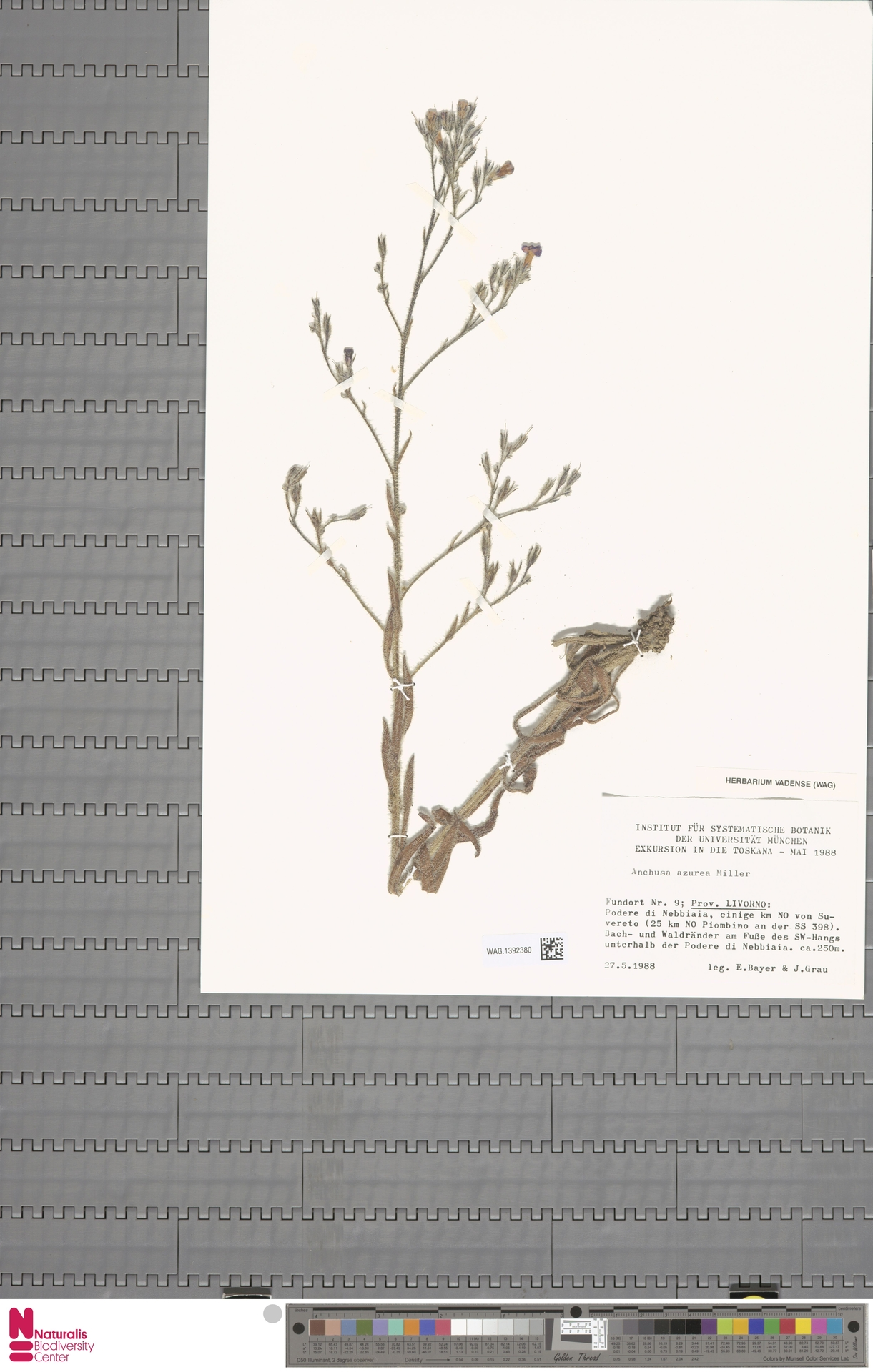 WAG.1392380 | Anchusa azurea Mill.