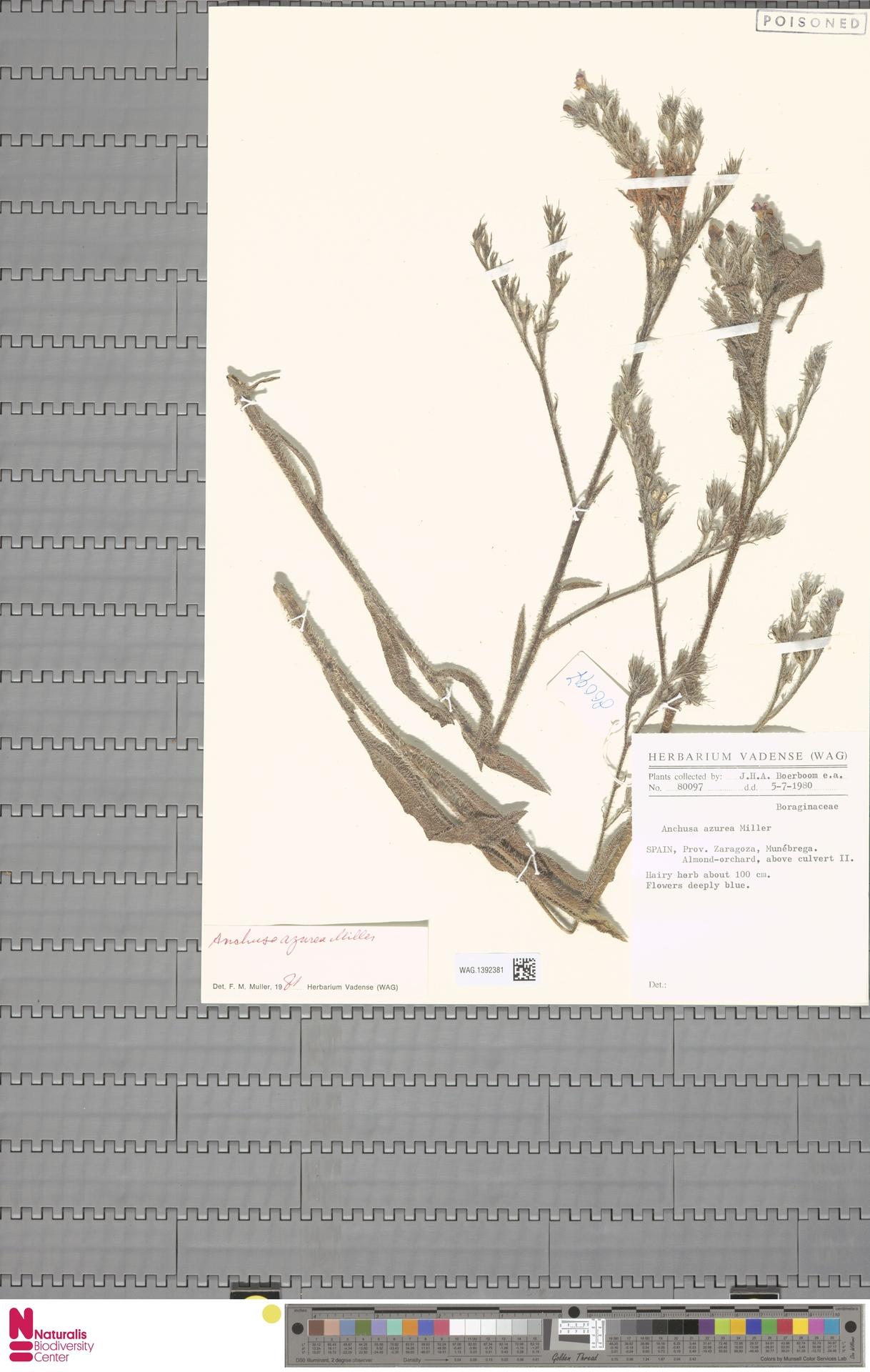 WAG.1392381 | Anchusa azurea Mill.