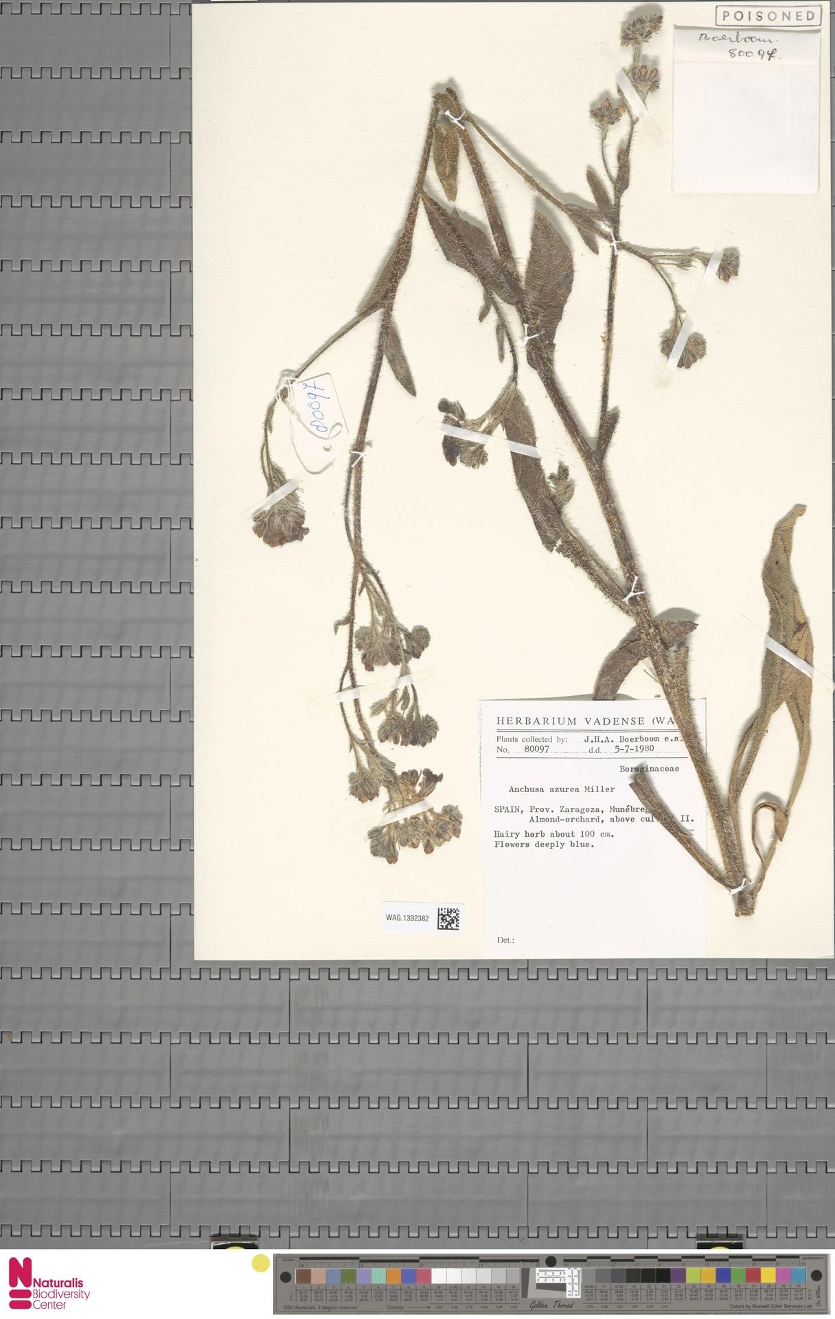 WAG.1392382 | Anchusa azurea Mill.