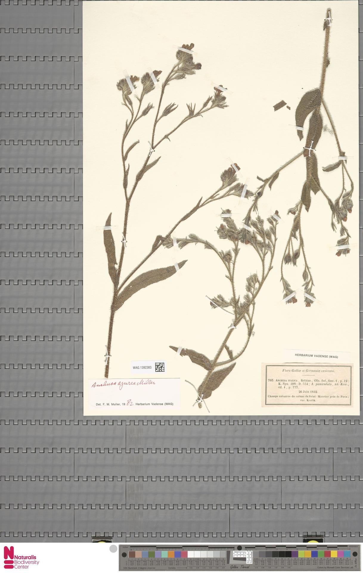 WAG.1392383 | Anchusa azurea Mill.