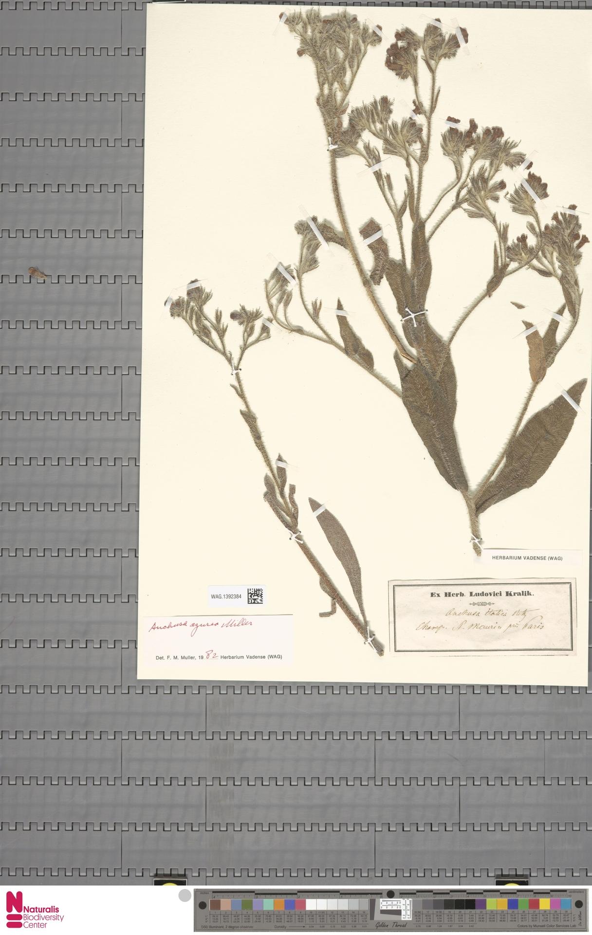 WAG.1392384 | Anchusa azurea Mill.