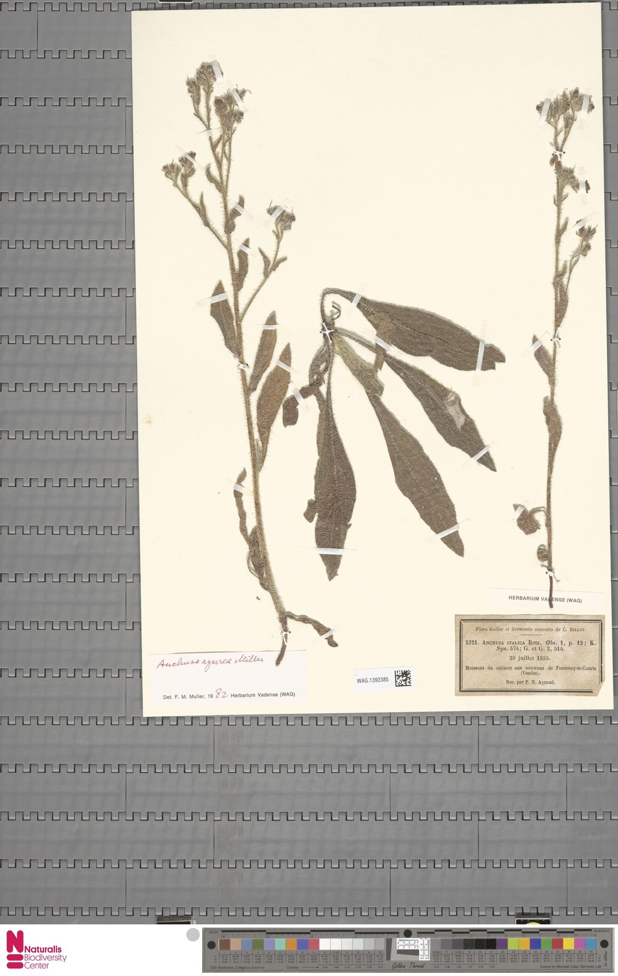 WAG.1392385 | Anchusa azurea Mill.