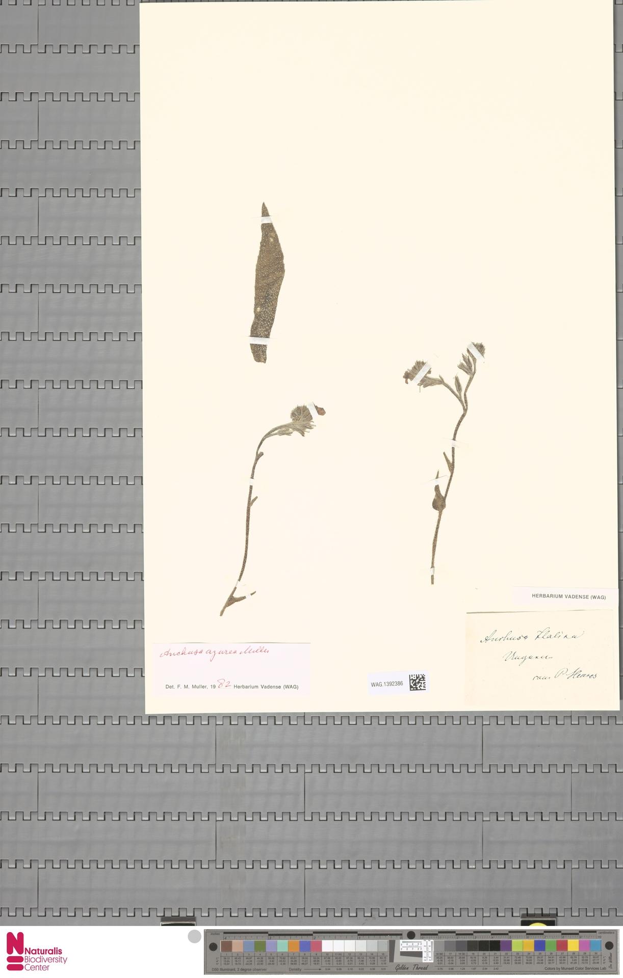 WAG.1392386 | Anchusa azurea Mill.