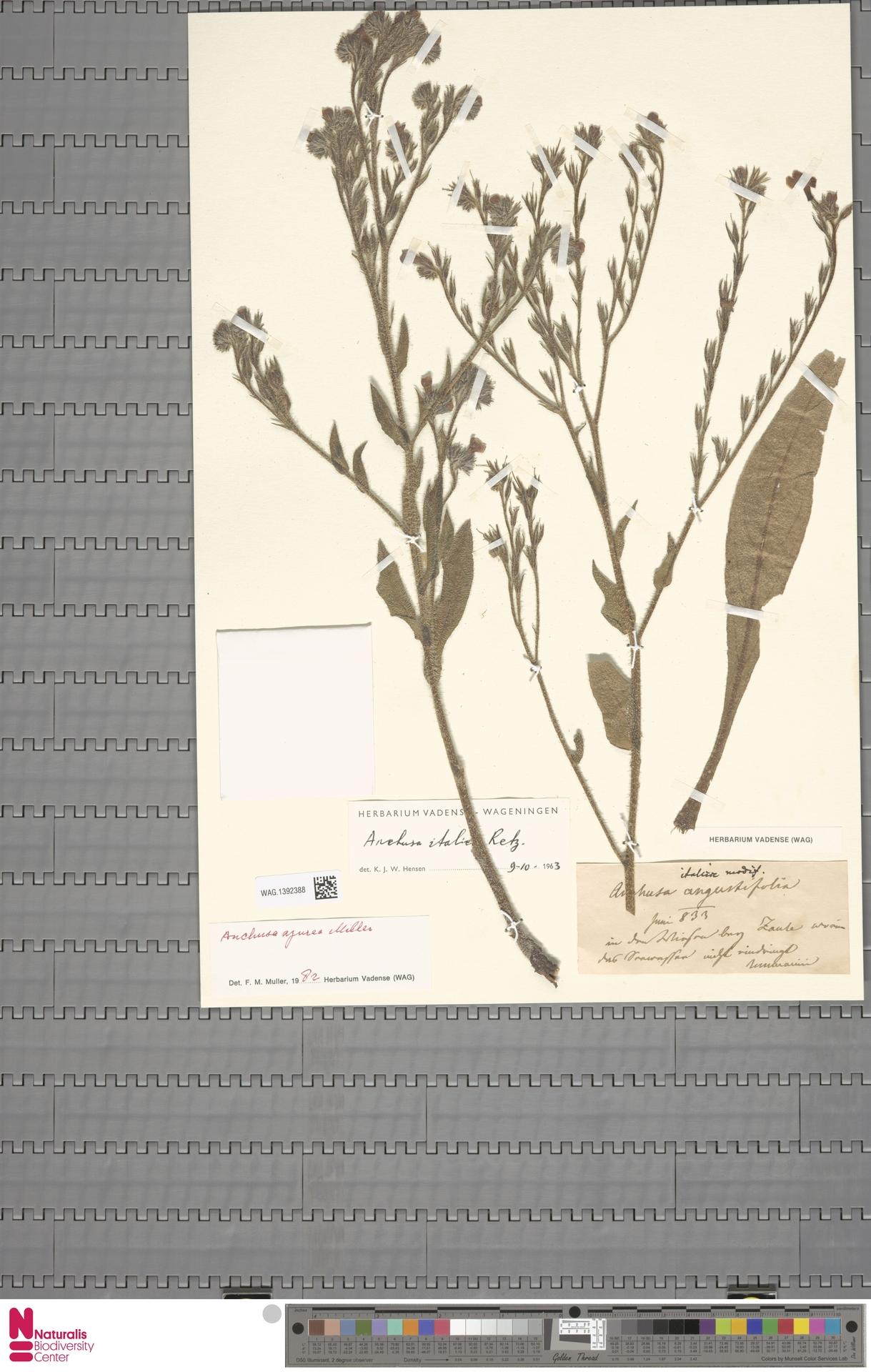 WAG.1392388 | Anchusa azurea Mill.