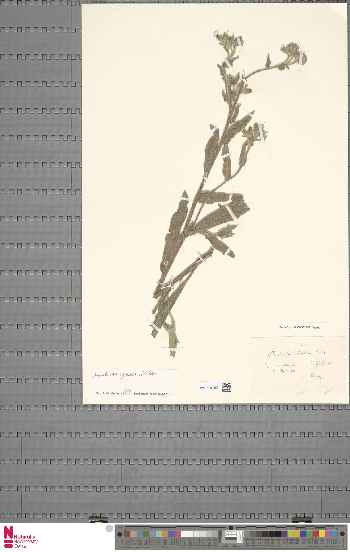 WAG.1392389 | Anchusa azurea Mill.