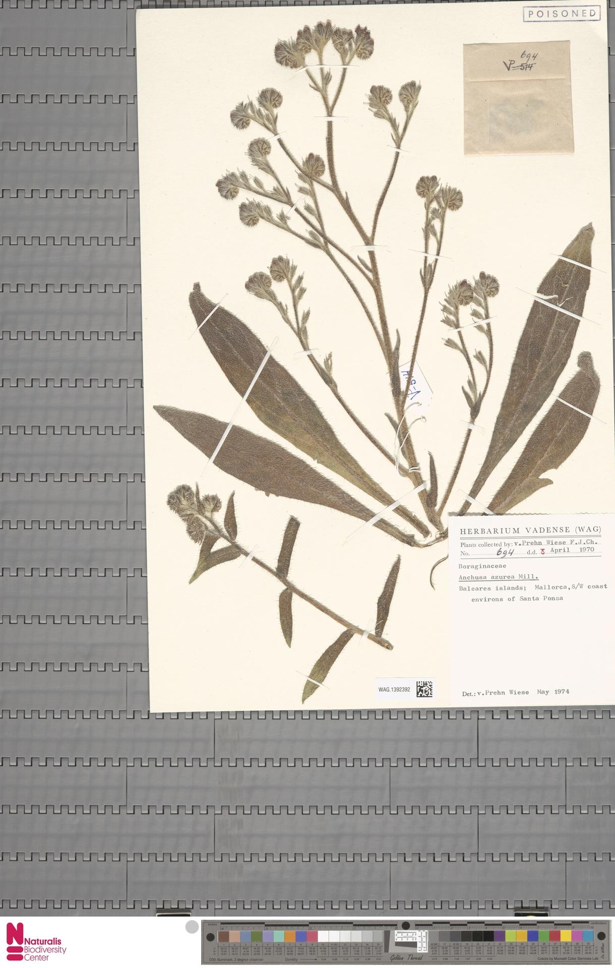 WAG.1392392 | Anchusa azurea Mill.
