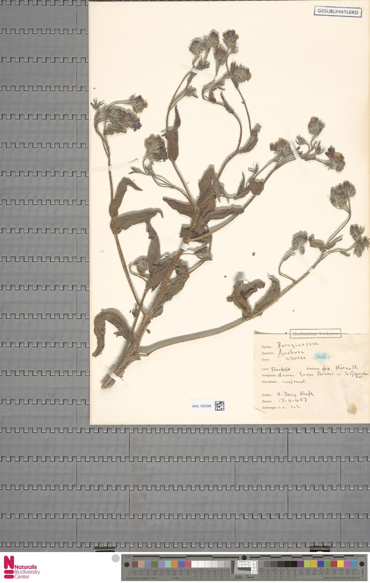 WAG.1392396 | Anchusa azurea Mill.