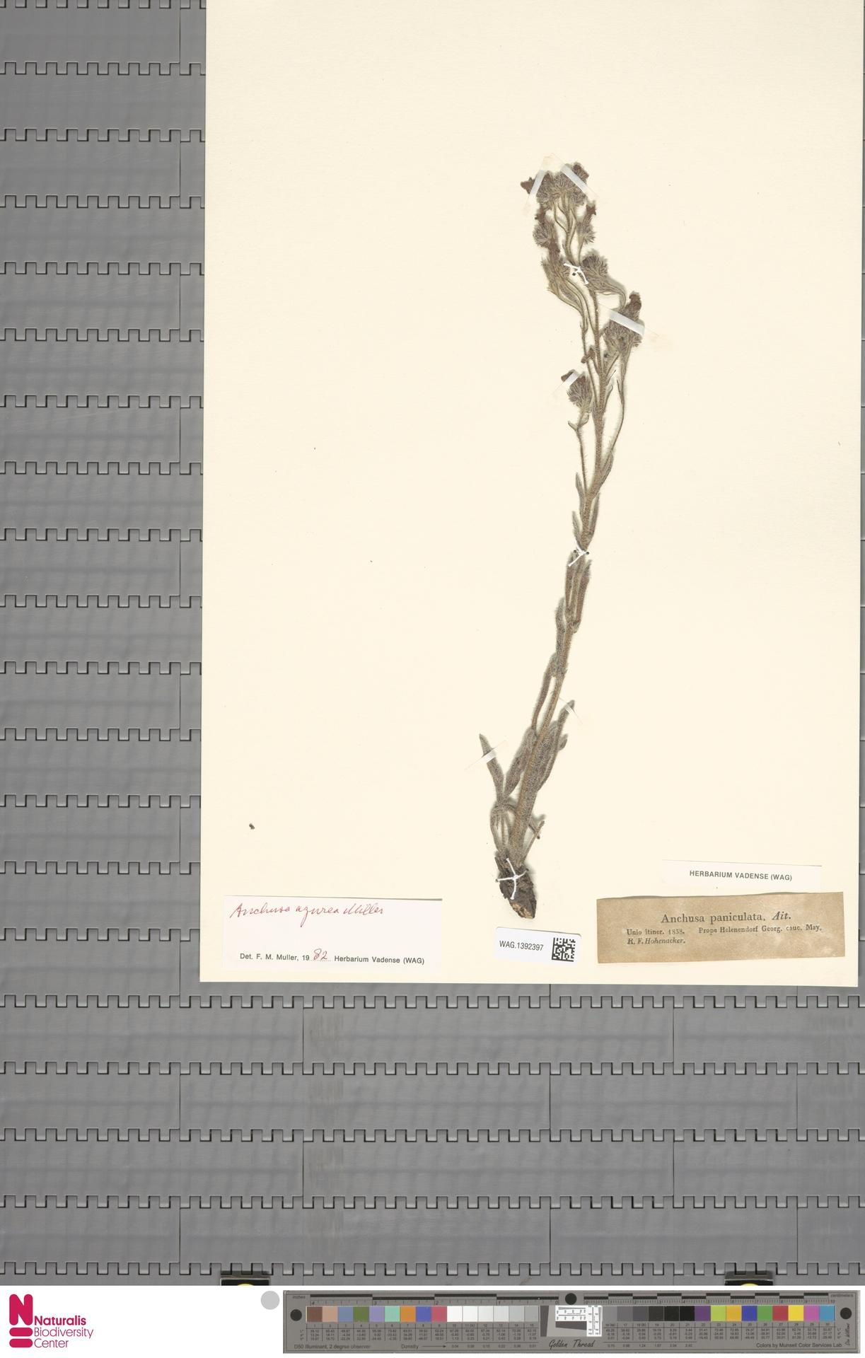 WAG.1392397 | Anchusa azurea Mill.