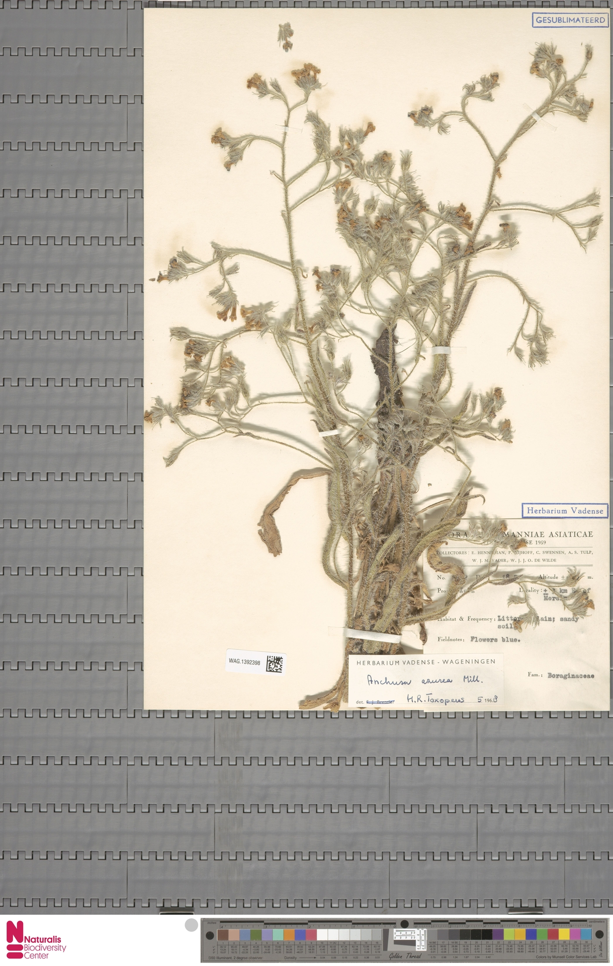 WAG.1392398 | Anchusa azurea Mill.