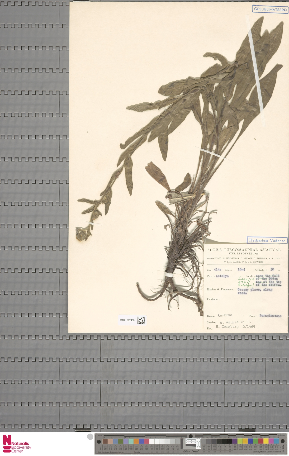 WAG.1392400 | Anchusa azurea Mill.