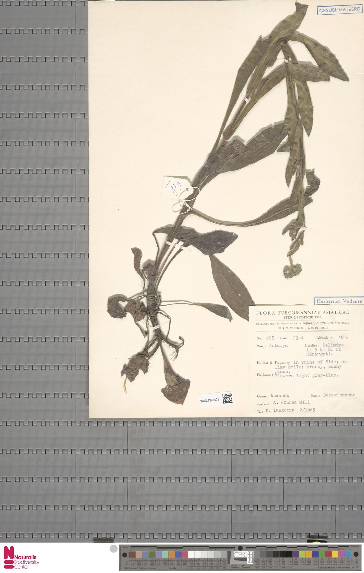 WAG.1392401 | Anchusa azurea Mill.