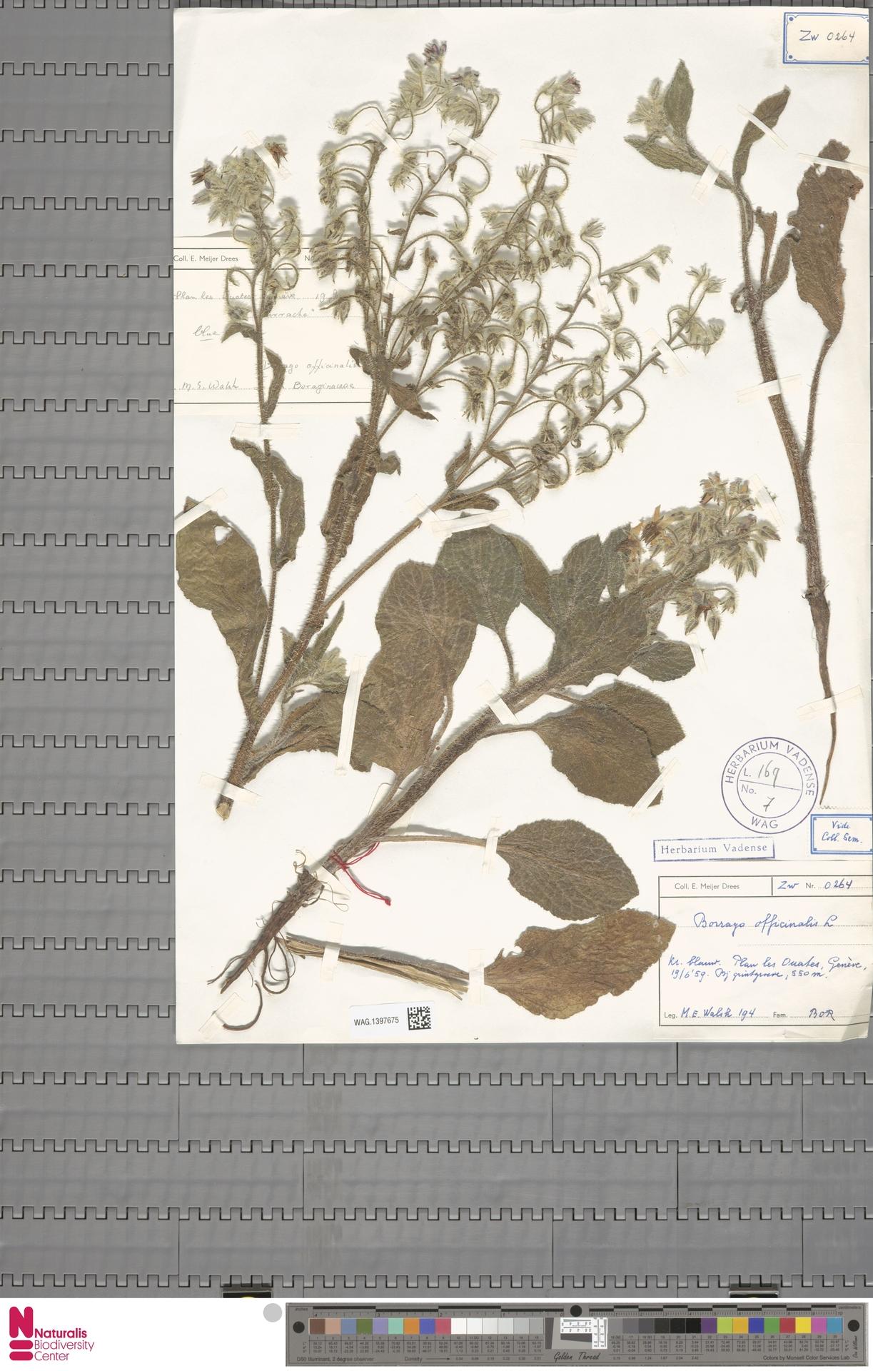 WAG.1397675 | Borago officinalis L.