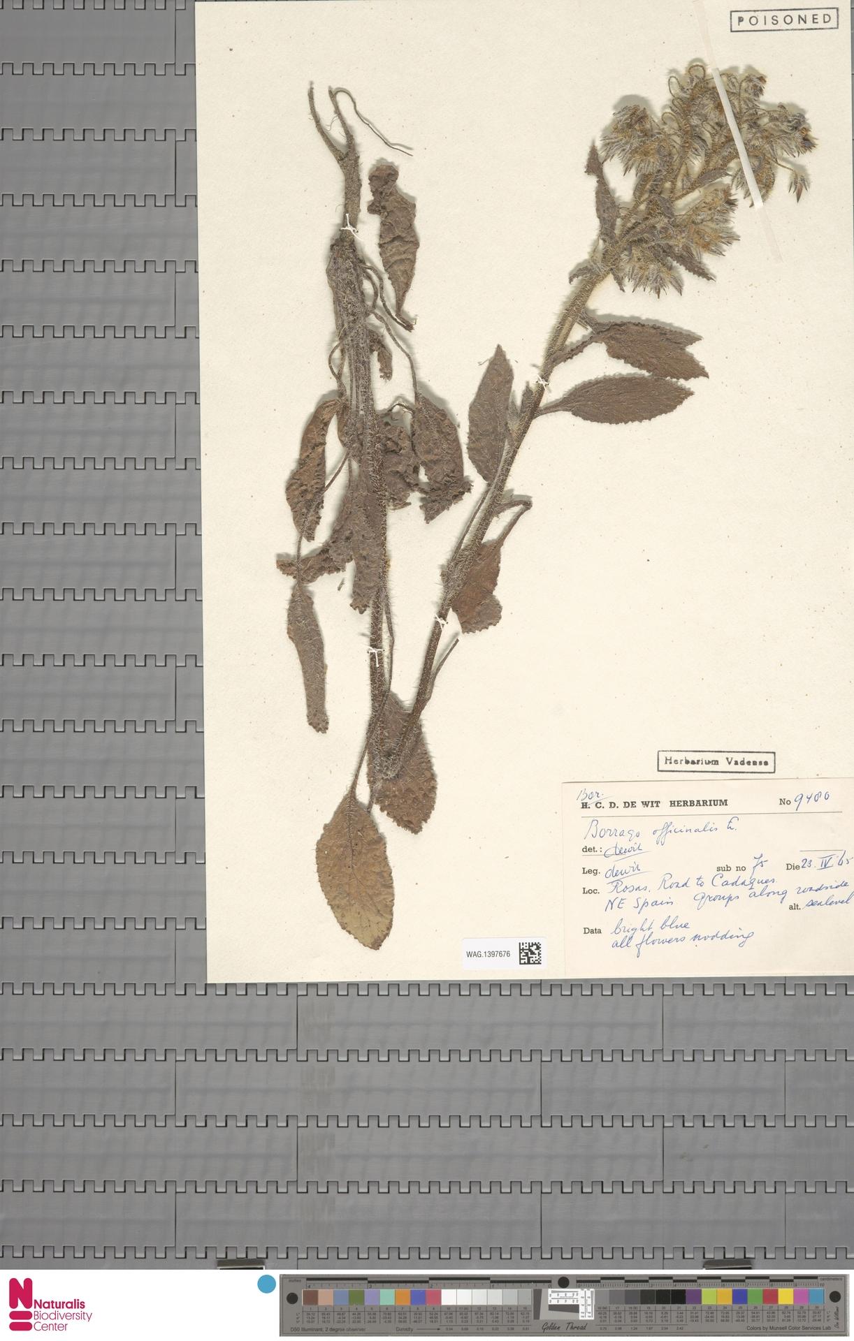 WAG.1397676 | Borago officinalis L.