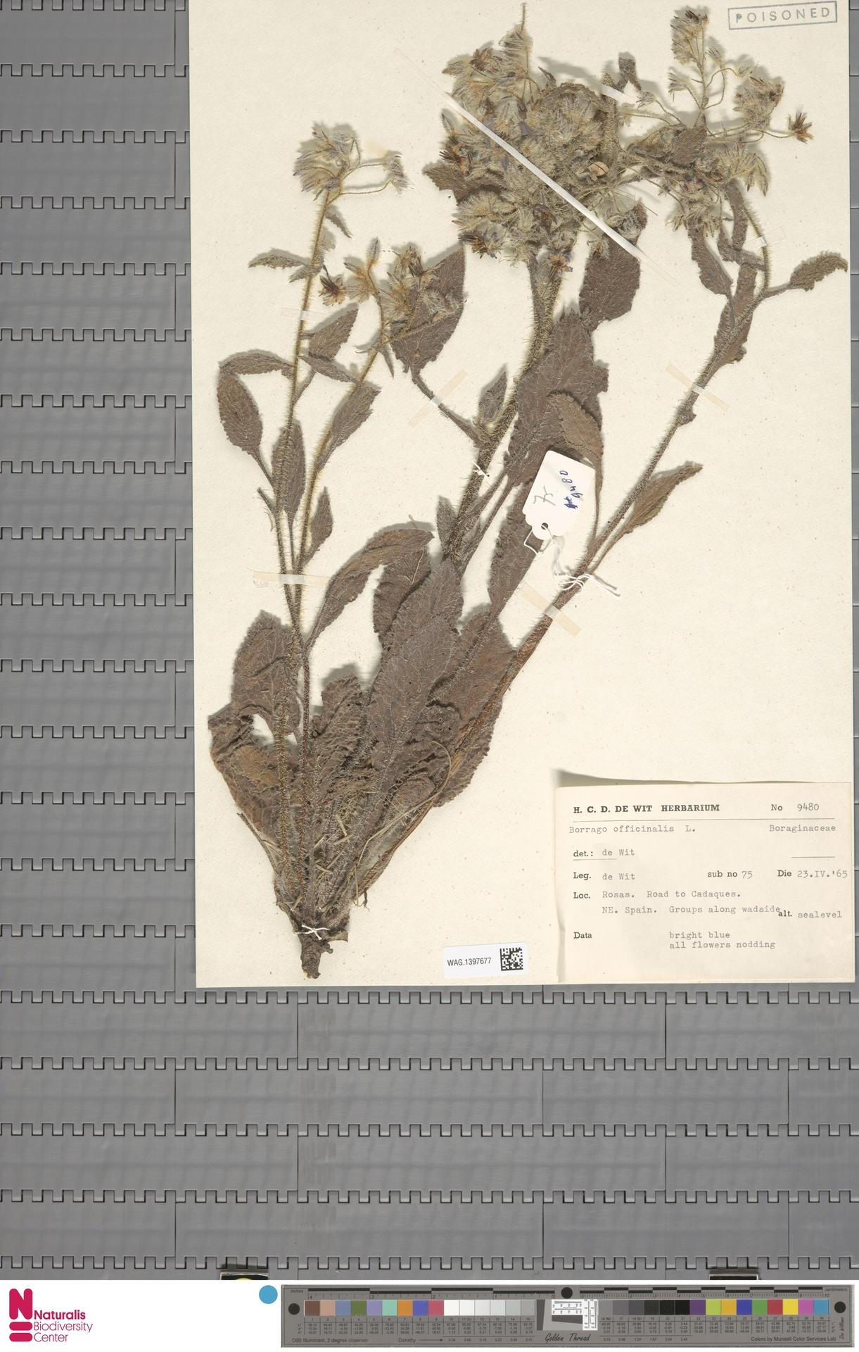 WAG.1397677 | Borago officinalis L.