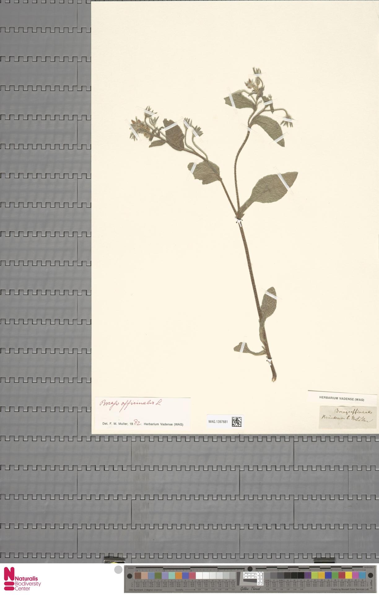 WAG.1397681 | Borago officinalis L.
