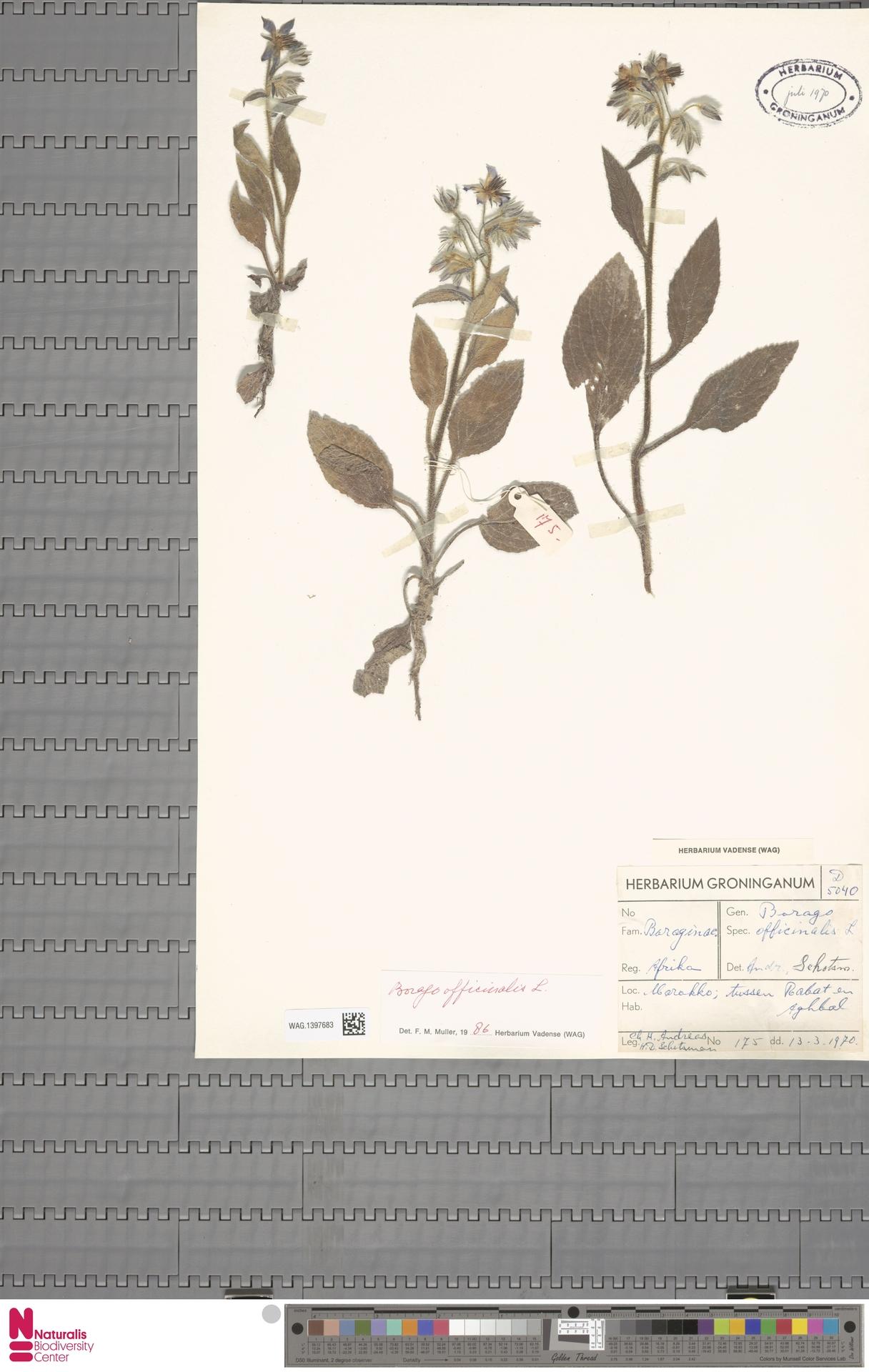 WAG.1397683 | Borago officinalis L.