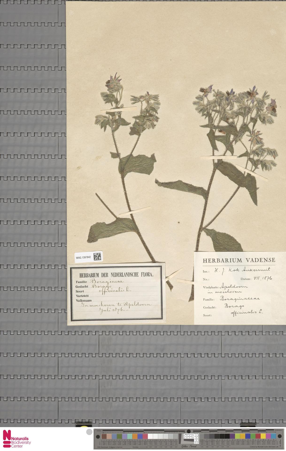 WAG.1397842 | Borago officinalis L.
