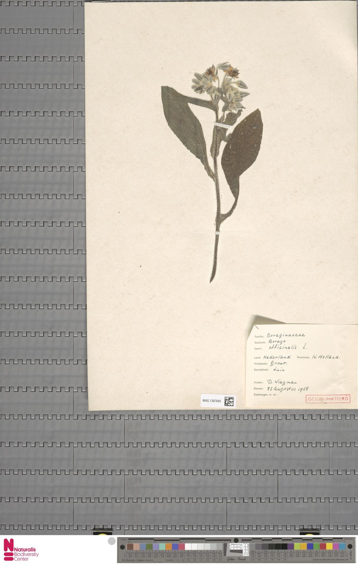 WAG.1397845 | Borago officinalis L.