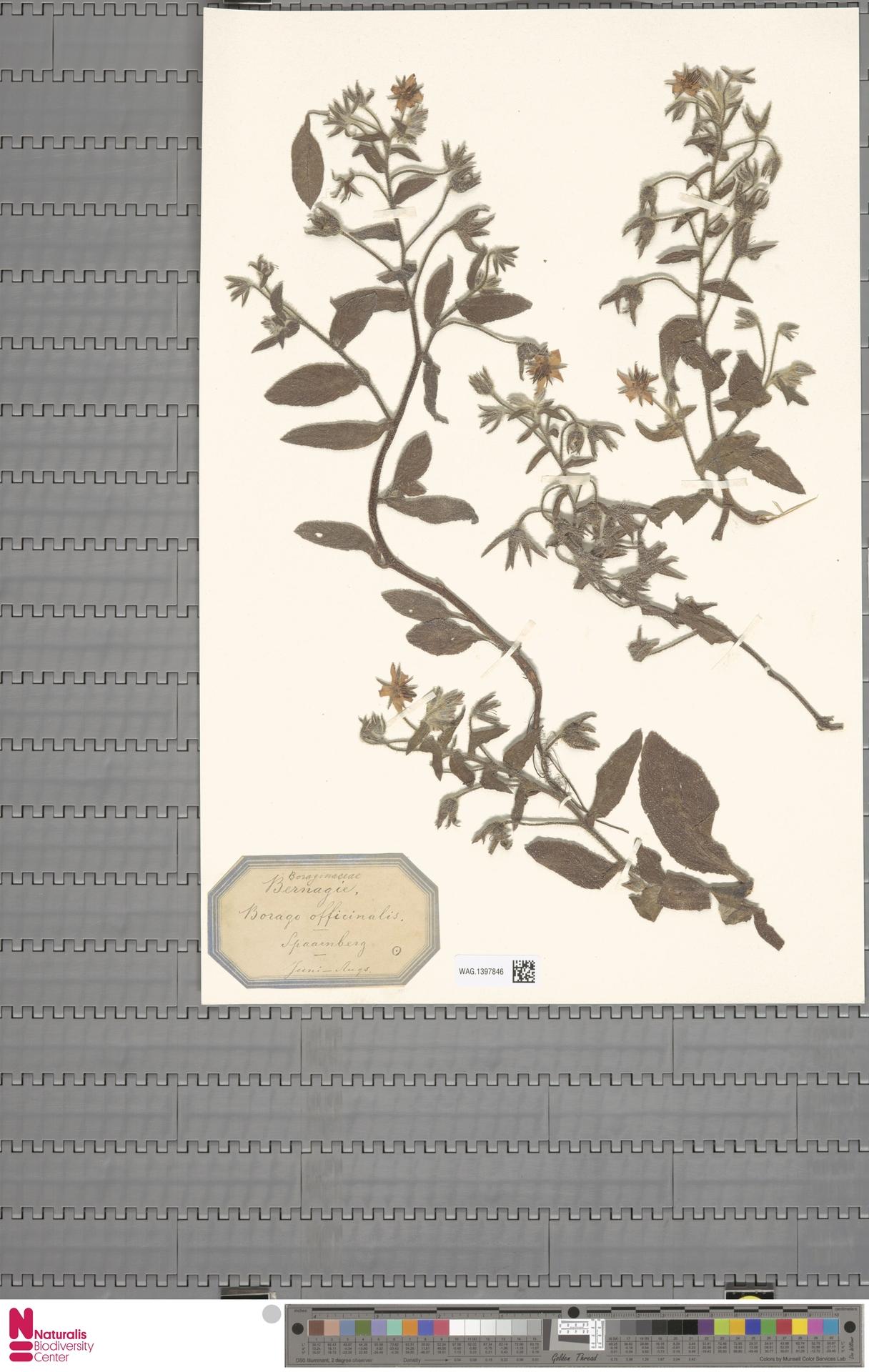 WAG.1397846 | Borago officinalis L.