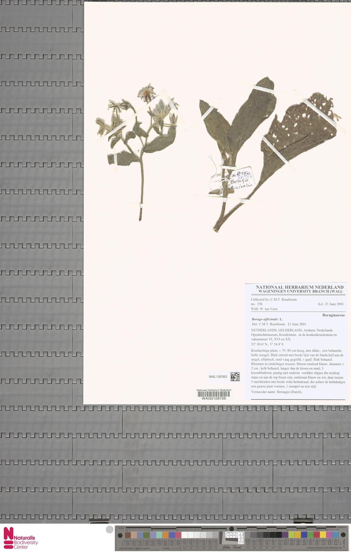 WAG.1397852 | Borago officinalis L.