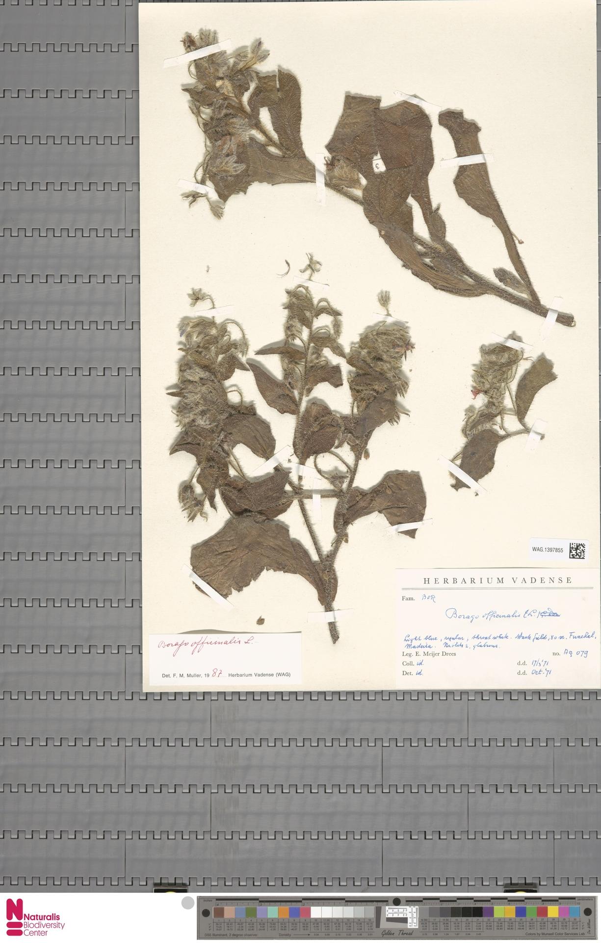 WAG.1397855 | Borago officinalis L.