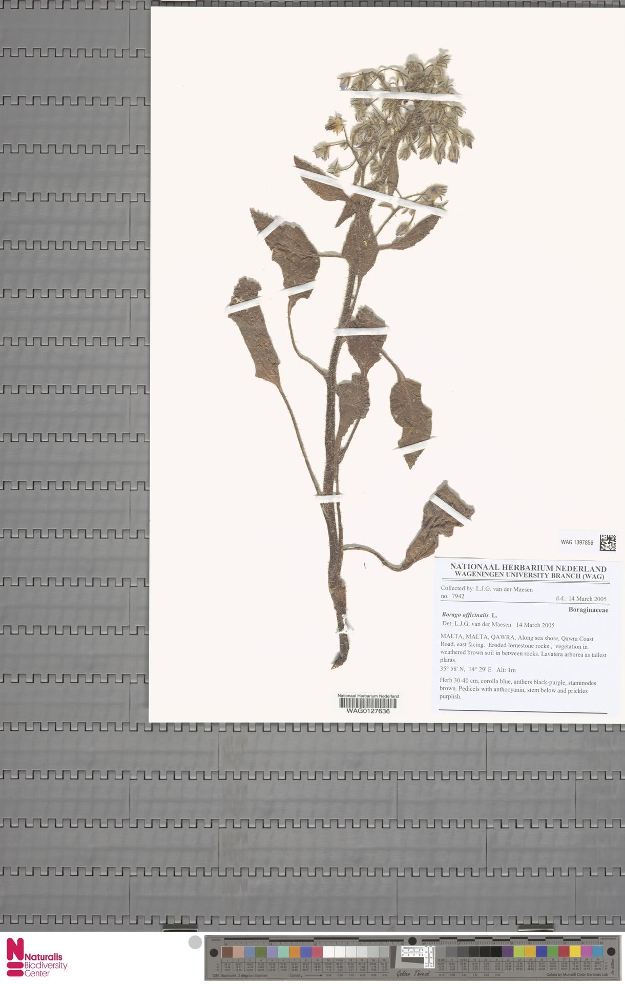 WAG.1397856 | Borago officinalis L.