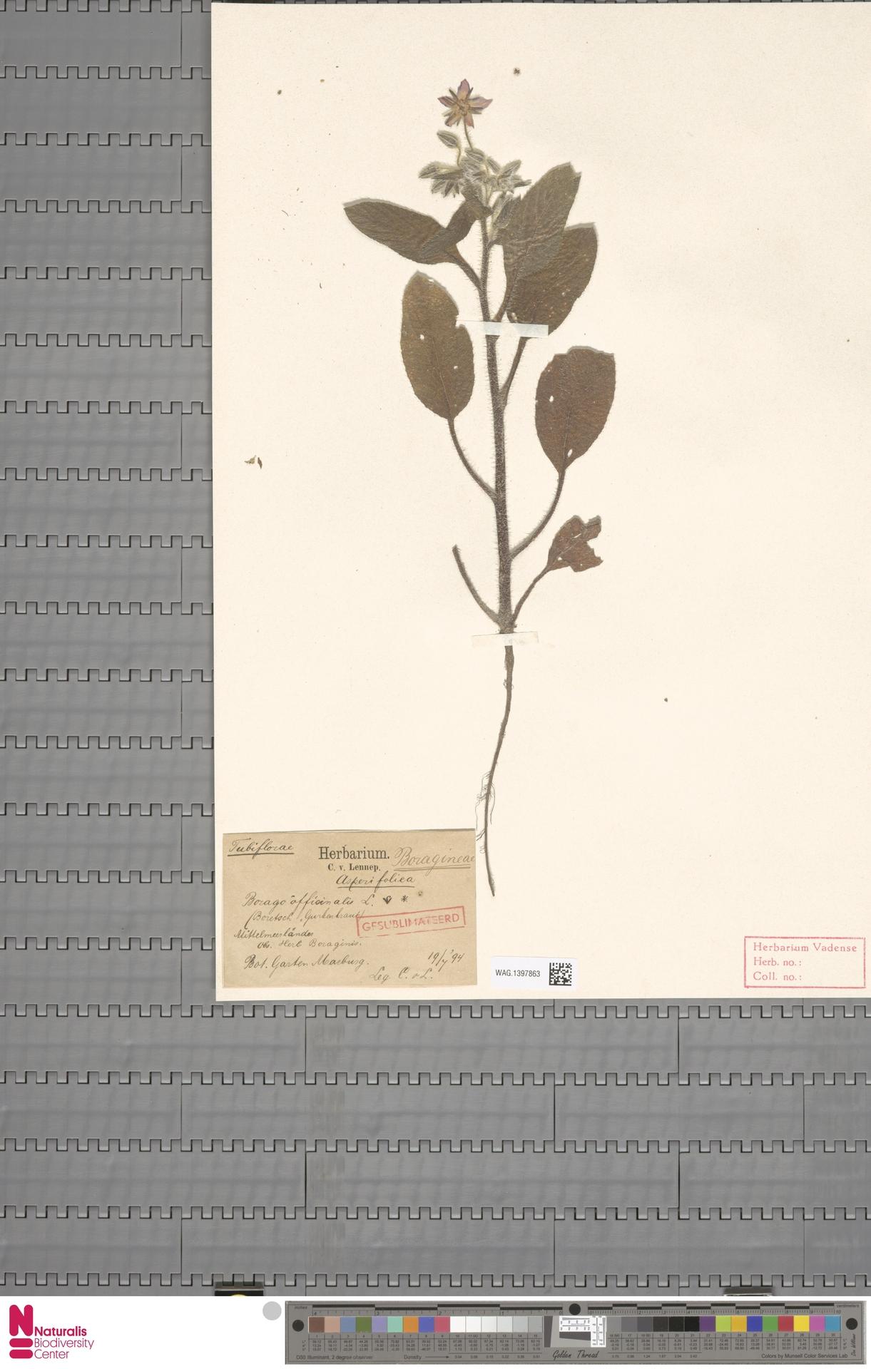 WAG.1397863 | Borago officinalis L.