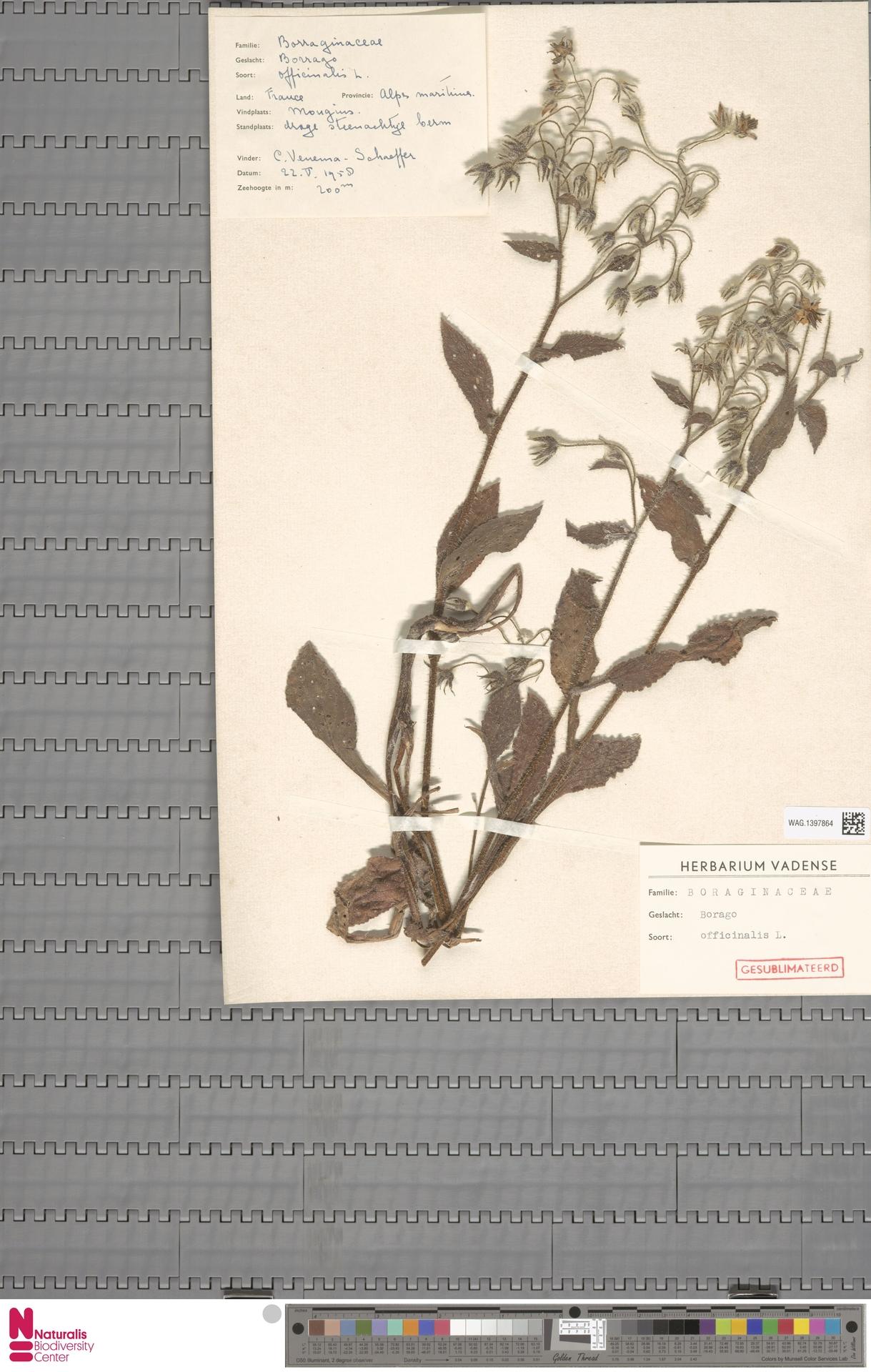WAG.1397864 | Borago officinalis L.