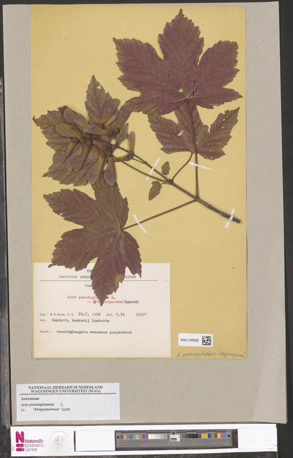 WAG.1405530 | Acer pseudoplatanus cv. 'Atropurpureum' Späth