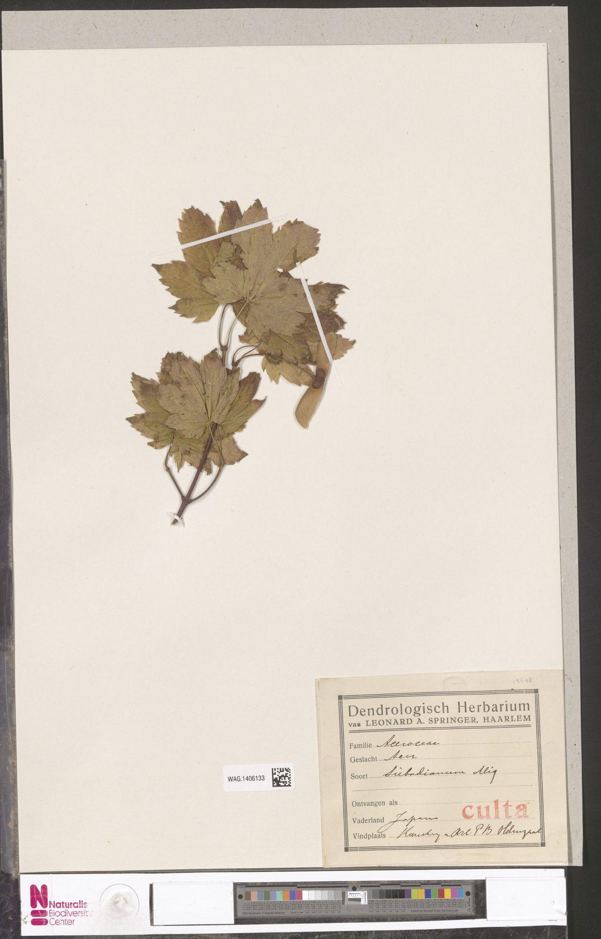 WAG.1406133 | Acer sieboldianum Miq.