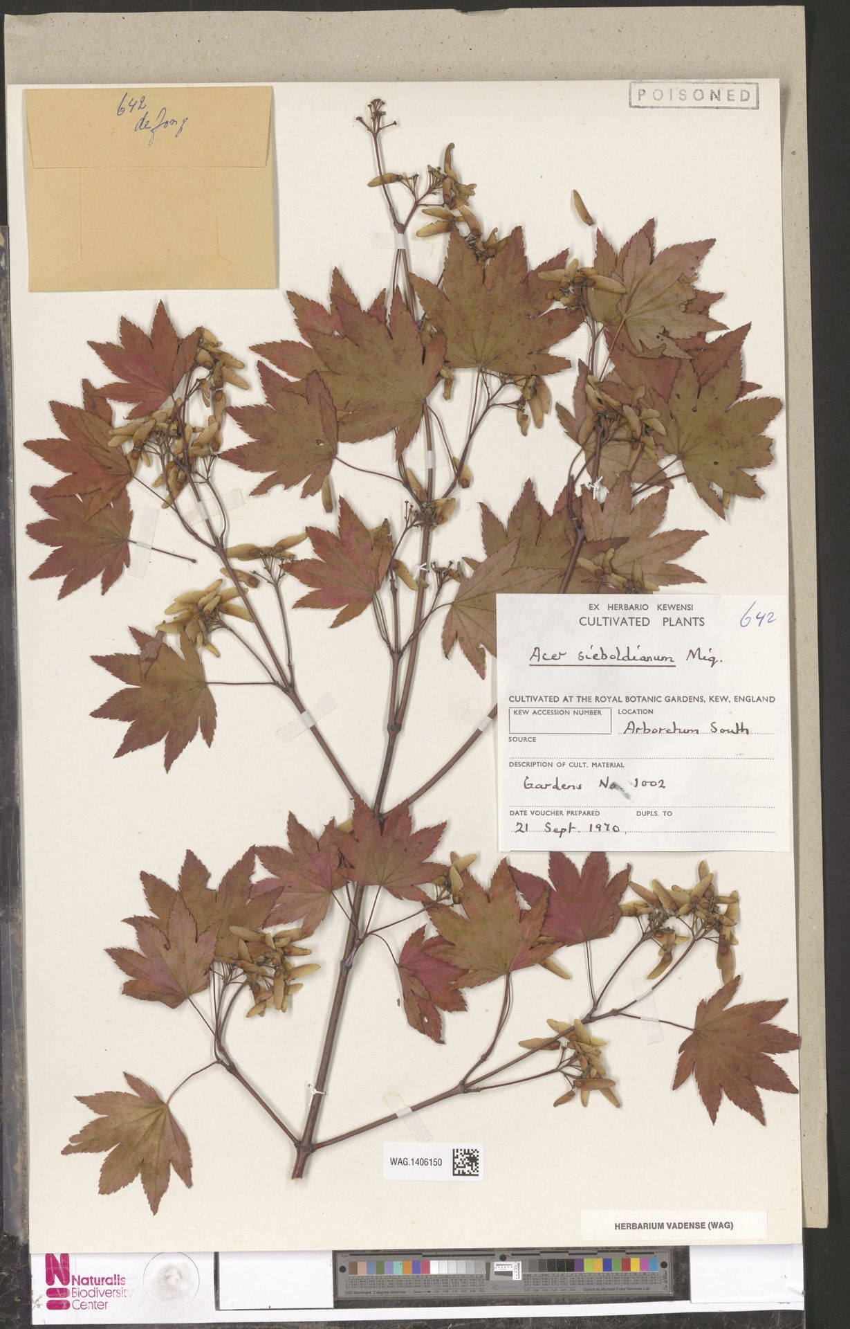 WAG.1406150 | Acer sieboldianum Miq.