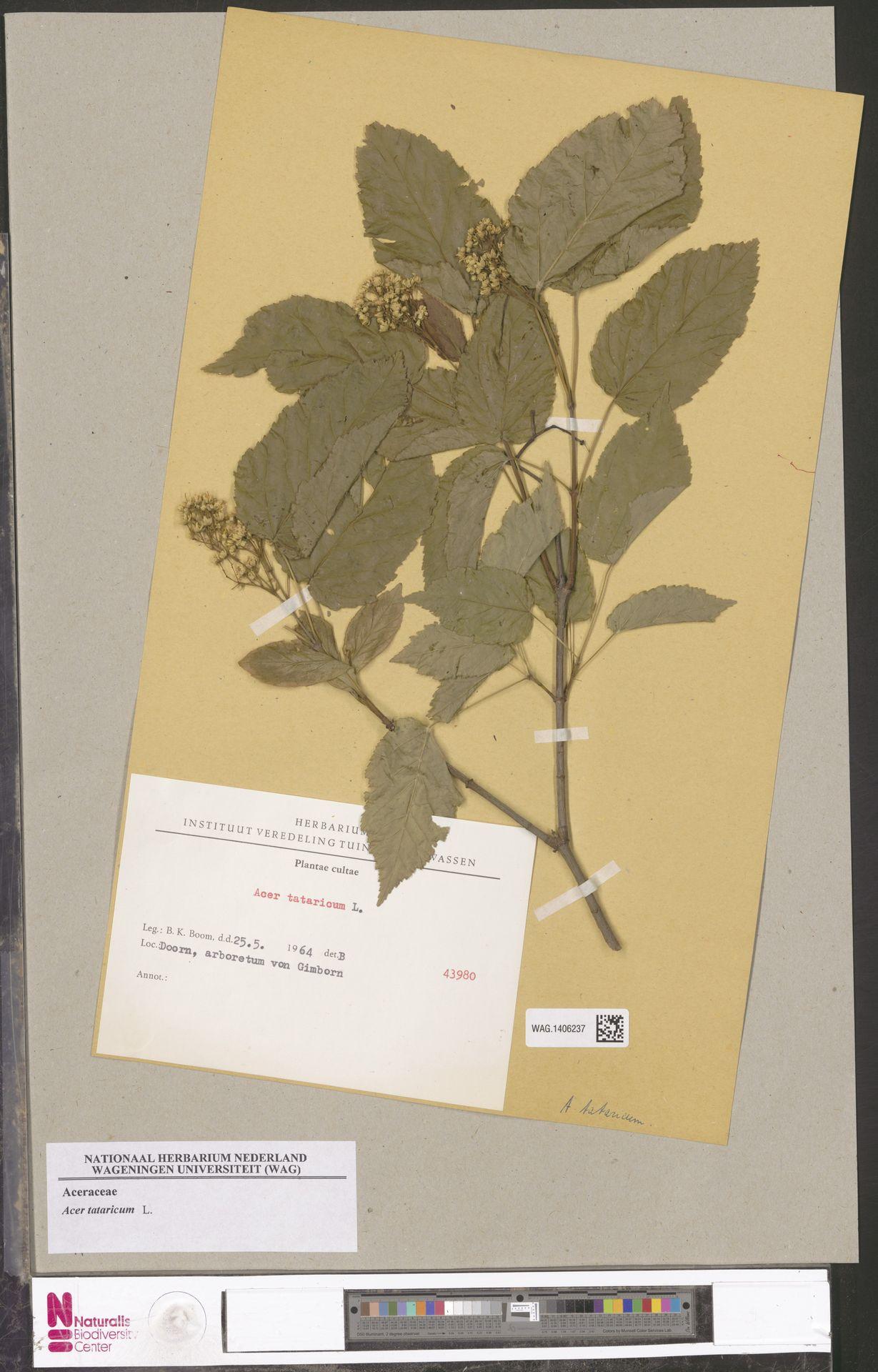 WAG.1406237 | Acer tataricum L.