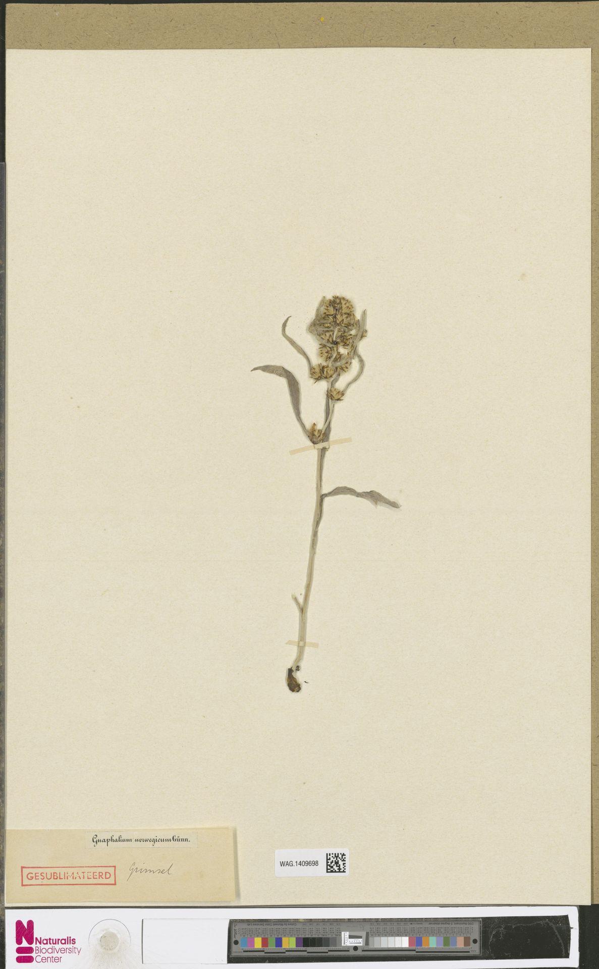 WAG.1409698 | Gnaphalium norvegicum Gunnerus