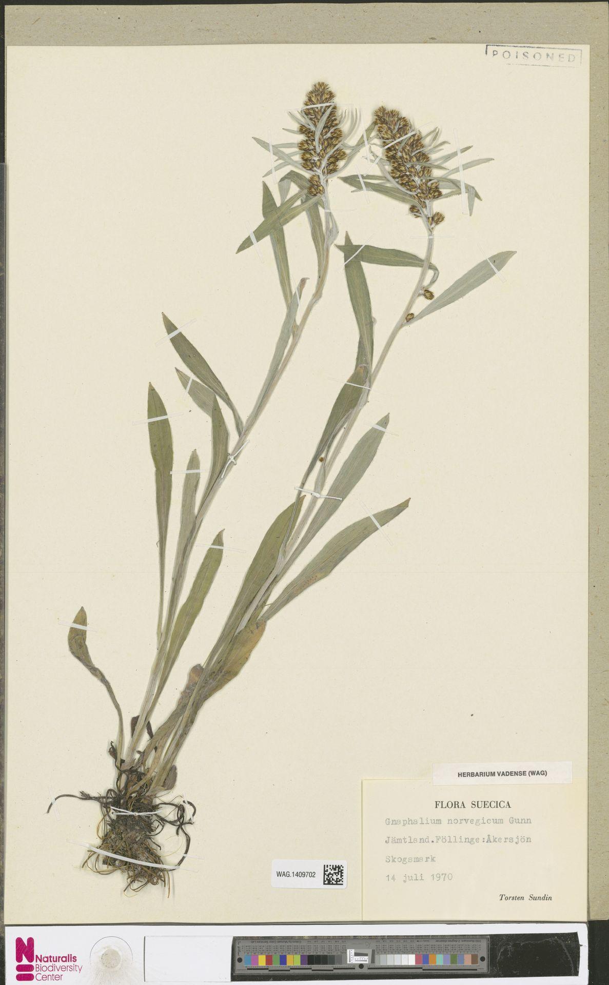 WAG.1409702 | Gnaphalium norvegicum Gunnerus